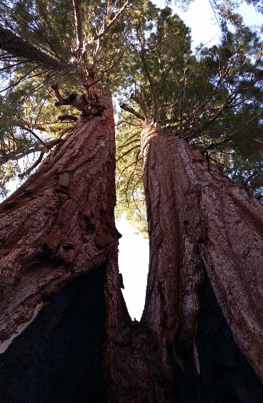sequoia-trees-camp-redwood-meadow-california