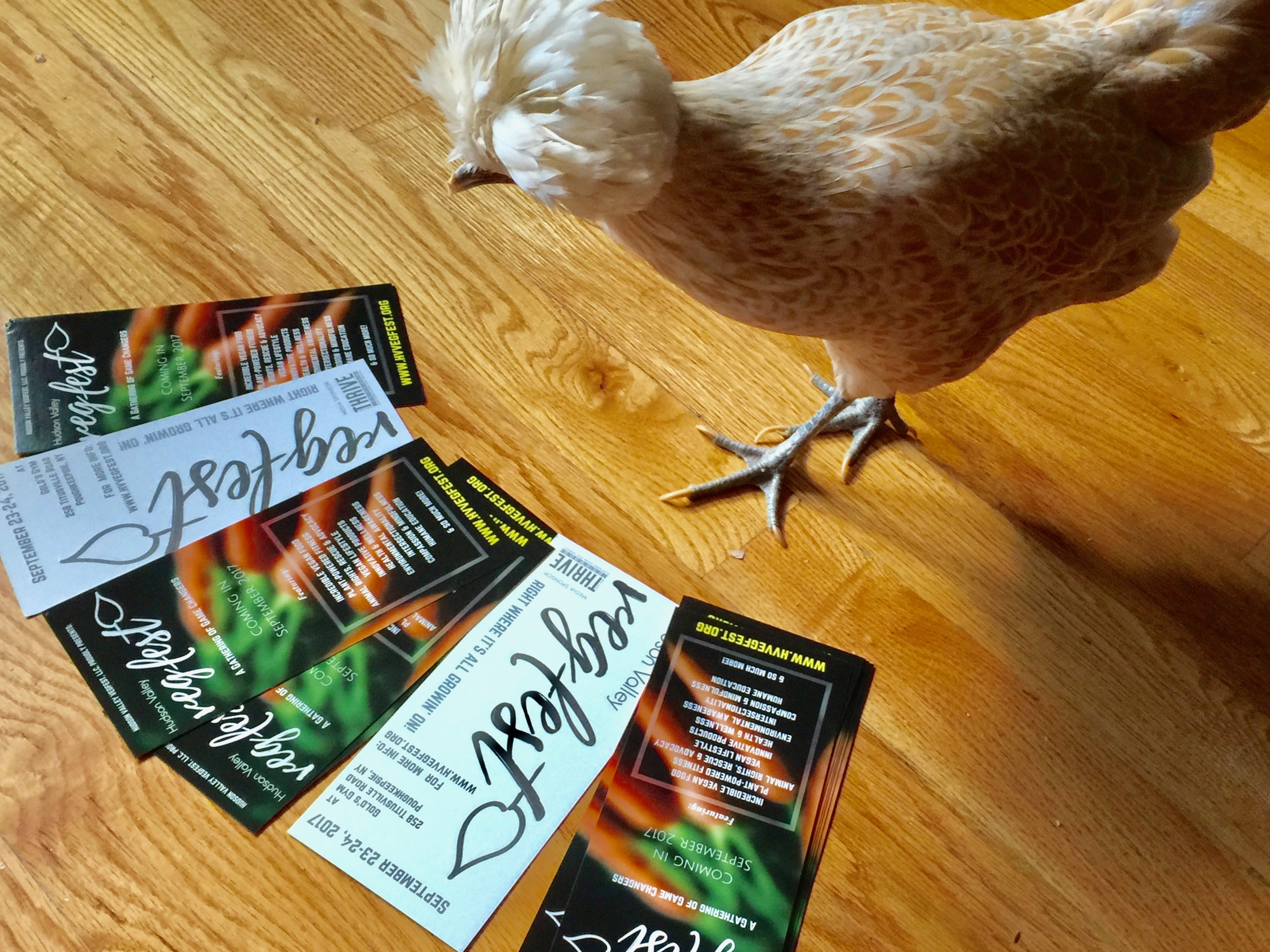 "Blanche, a rescued ""Polish Lace"" hen, making sure the new rack cards are in good pecking order!"