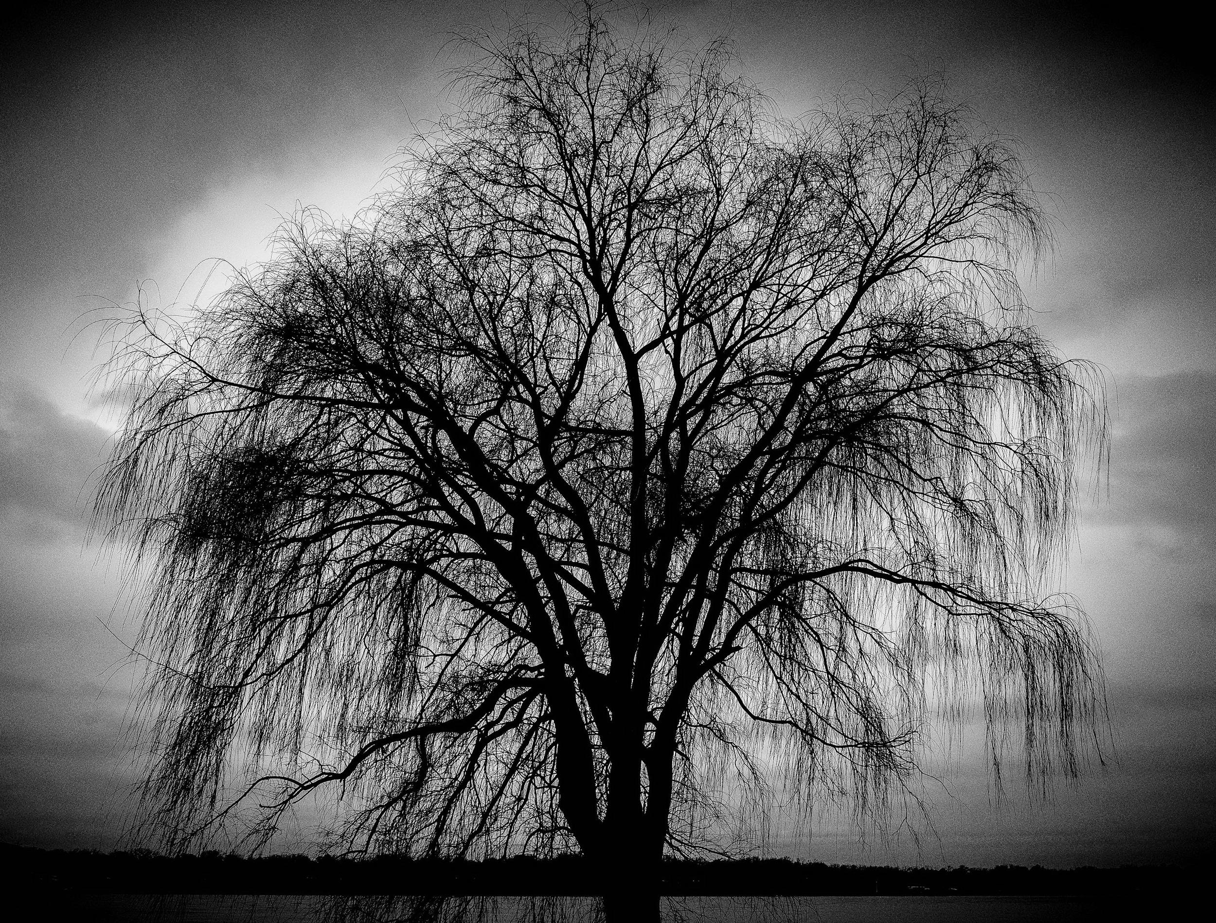 Weeping Willow Tree.jpg