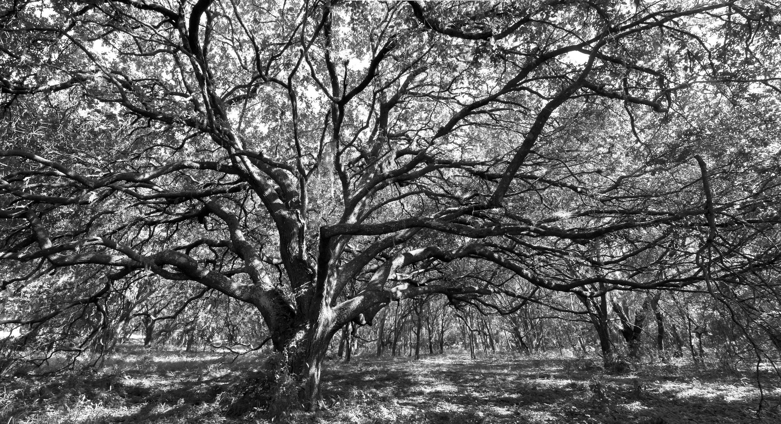 Spreading Tree_2.jpg