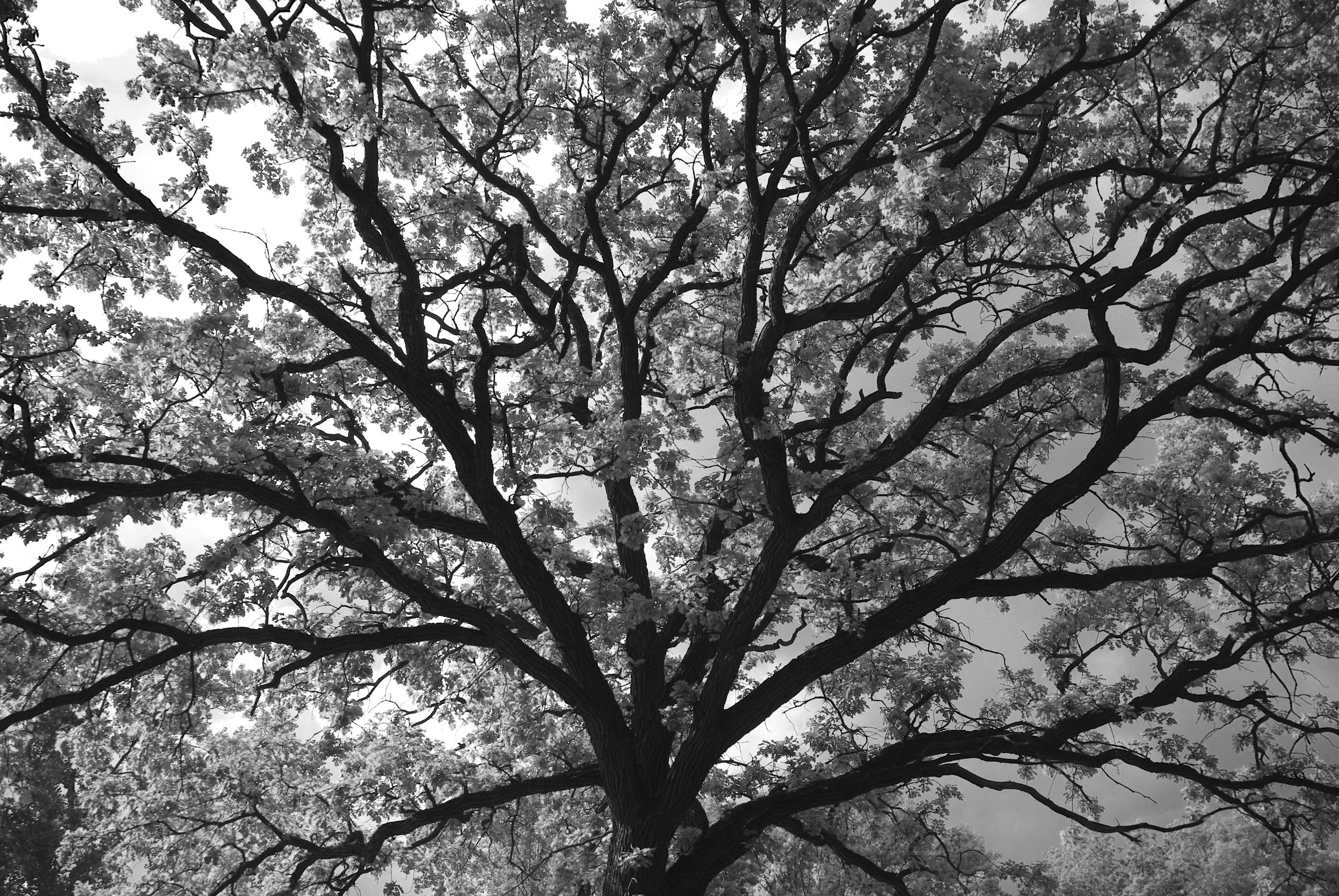 Spreading Tree, Union Cemetary-.jpg