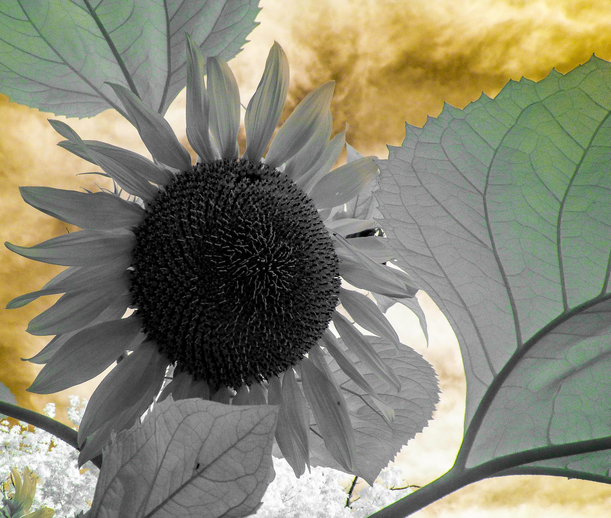 Sunflower & Sky, IR (1 of 1).jpg