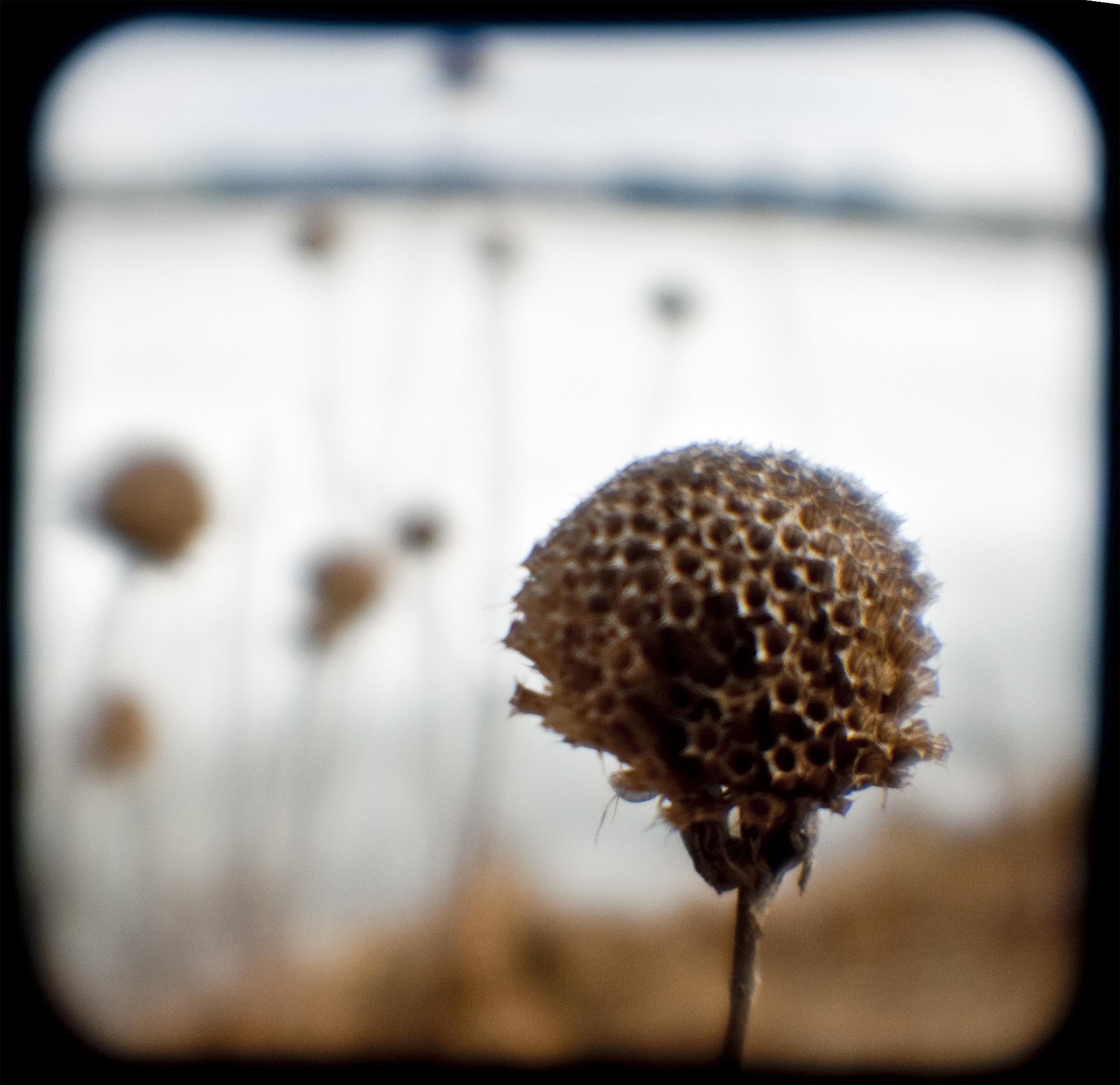 Thistle Seed.jpg