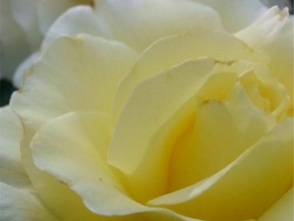 rose for web 2.jpg