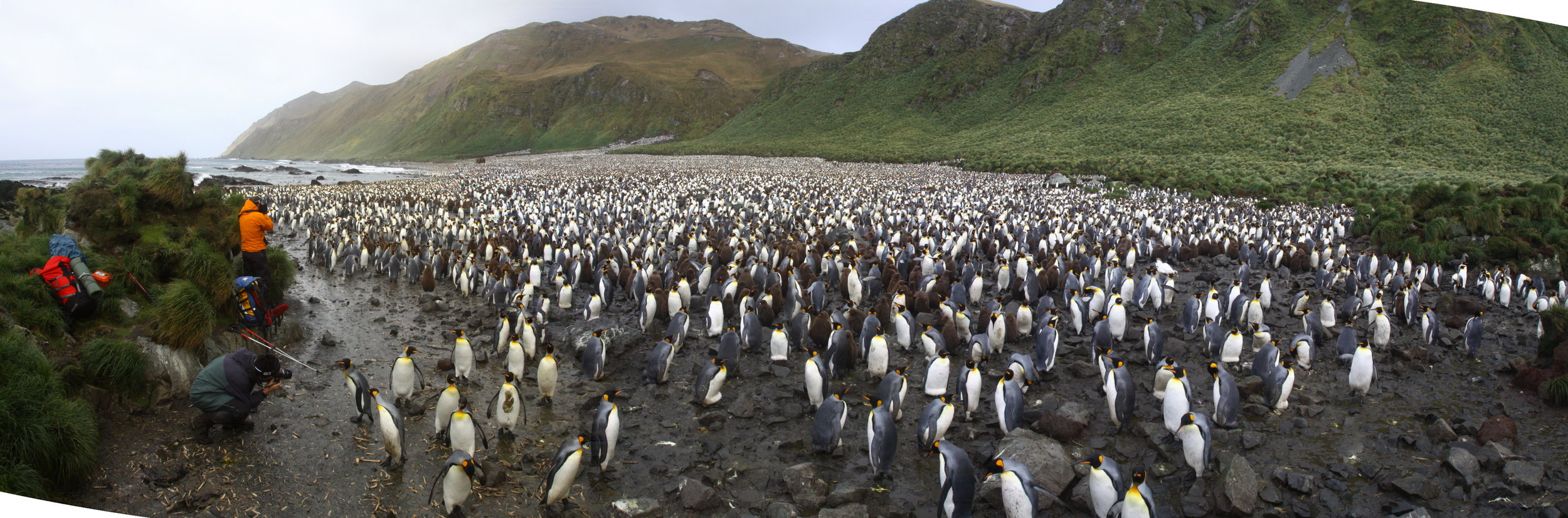 King penguin ( Aptenodytes patagonicus)  colony at Lusitania Bay, Macquarie Island. Photo by Josie van Dorst