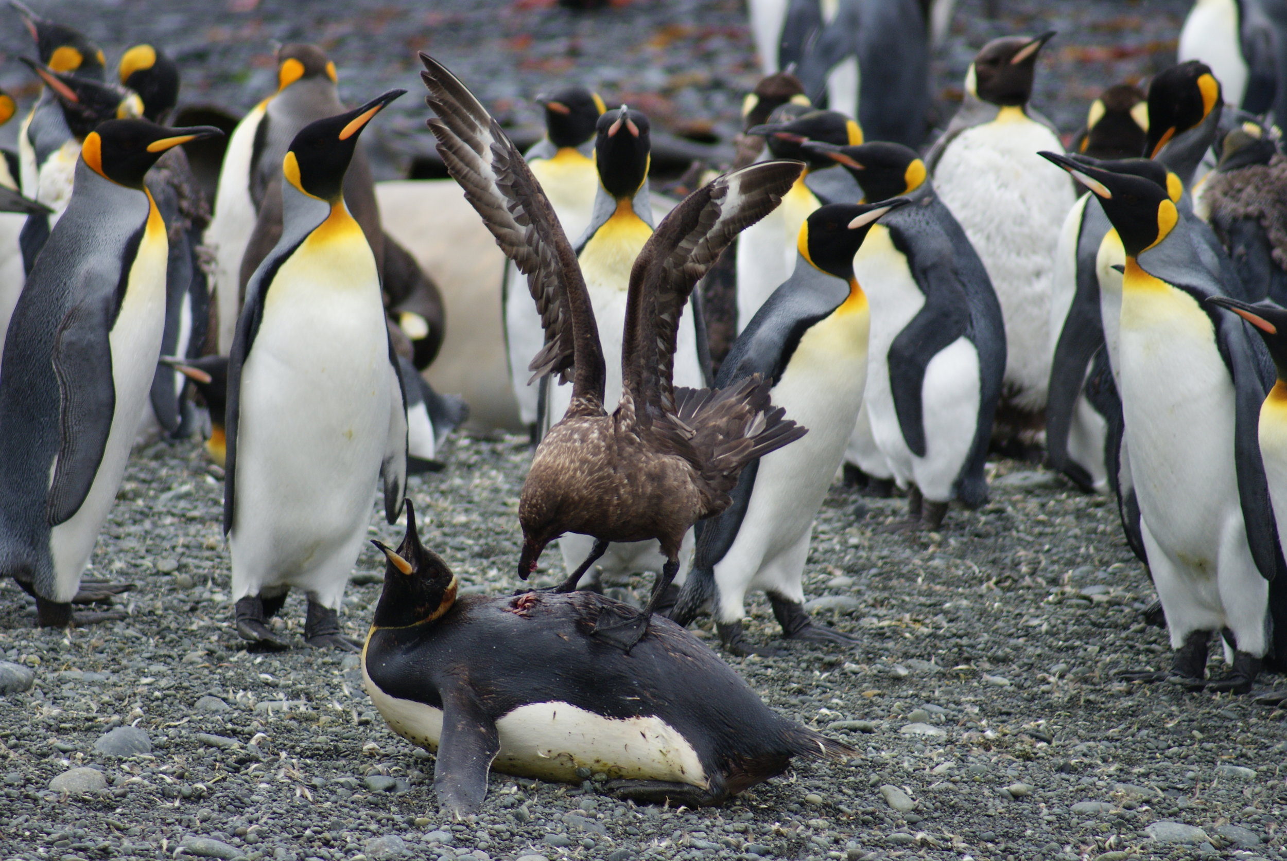 Brown Skua (Stercorarius antarcticus) attacking a King Penguin (Aptenodytes patagonicus). Photo Josie van Dorst. Winner of the 2012 UNSW Science photography award in the Wonder category.