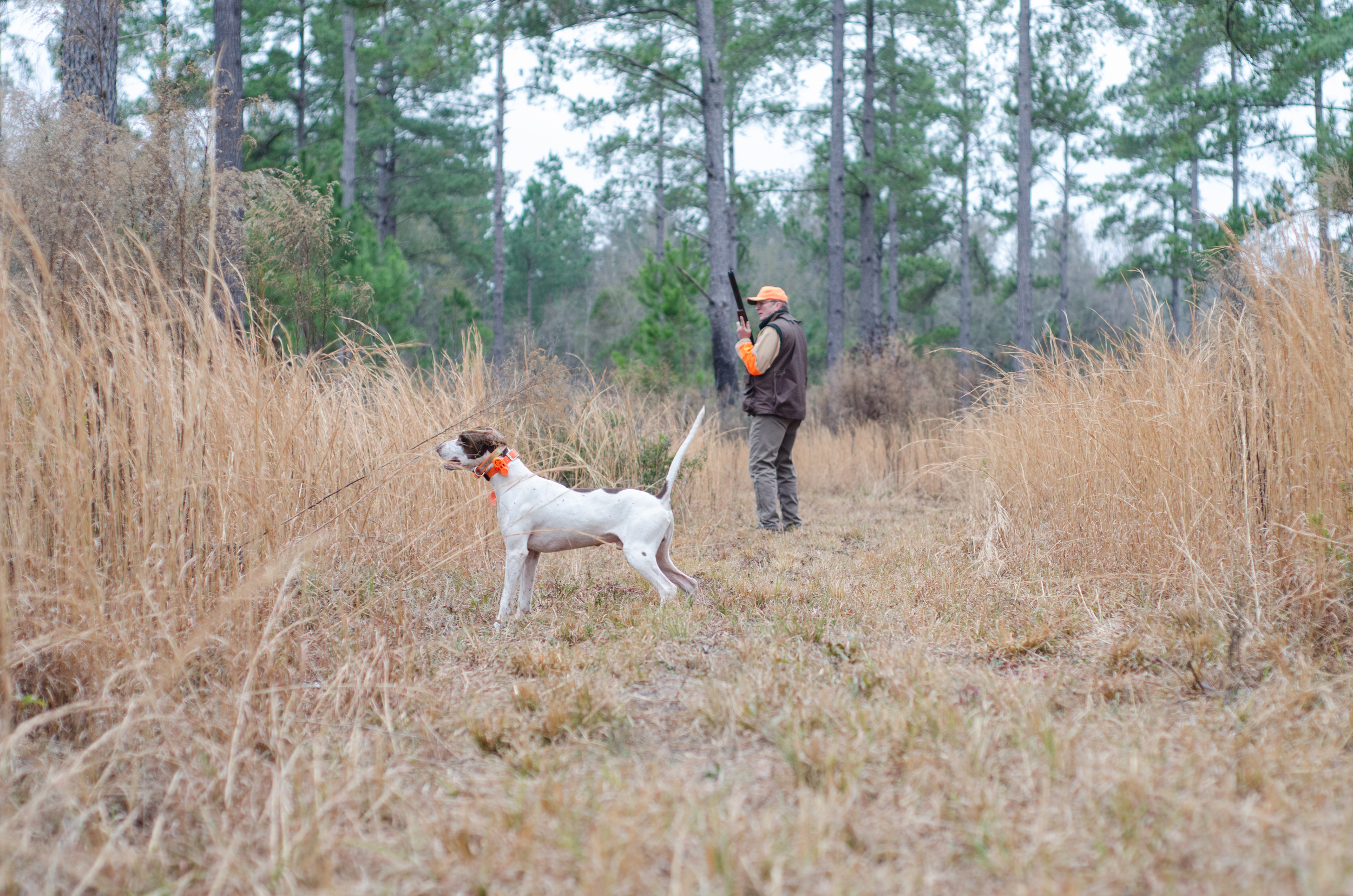 Bird dog thinks he's caught a scent.