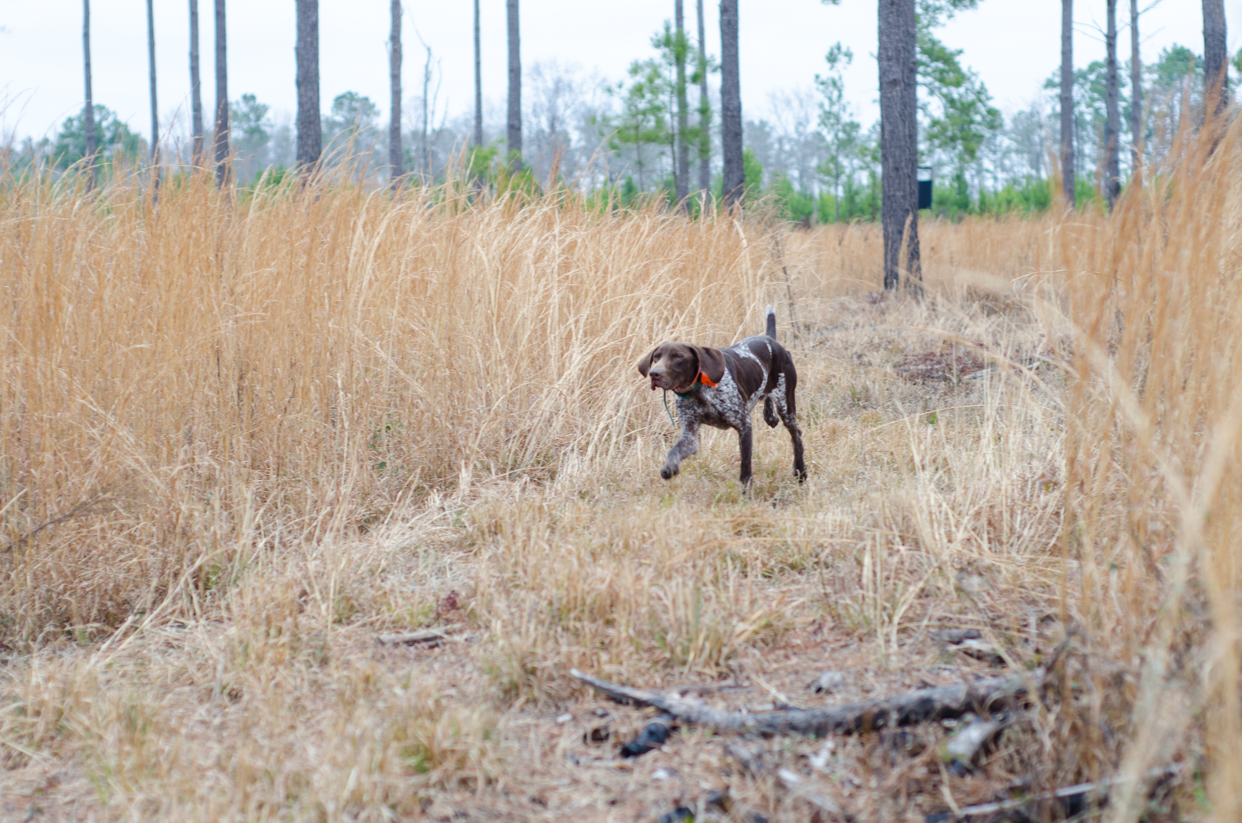 A bird dog following the scent.