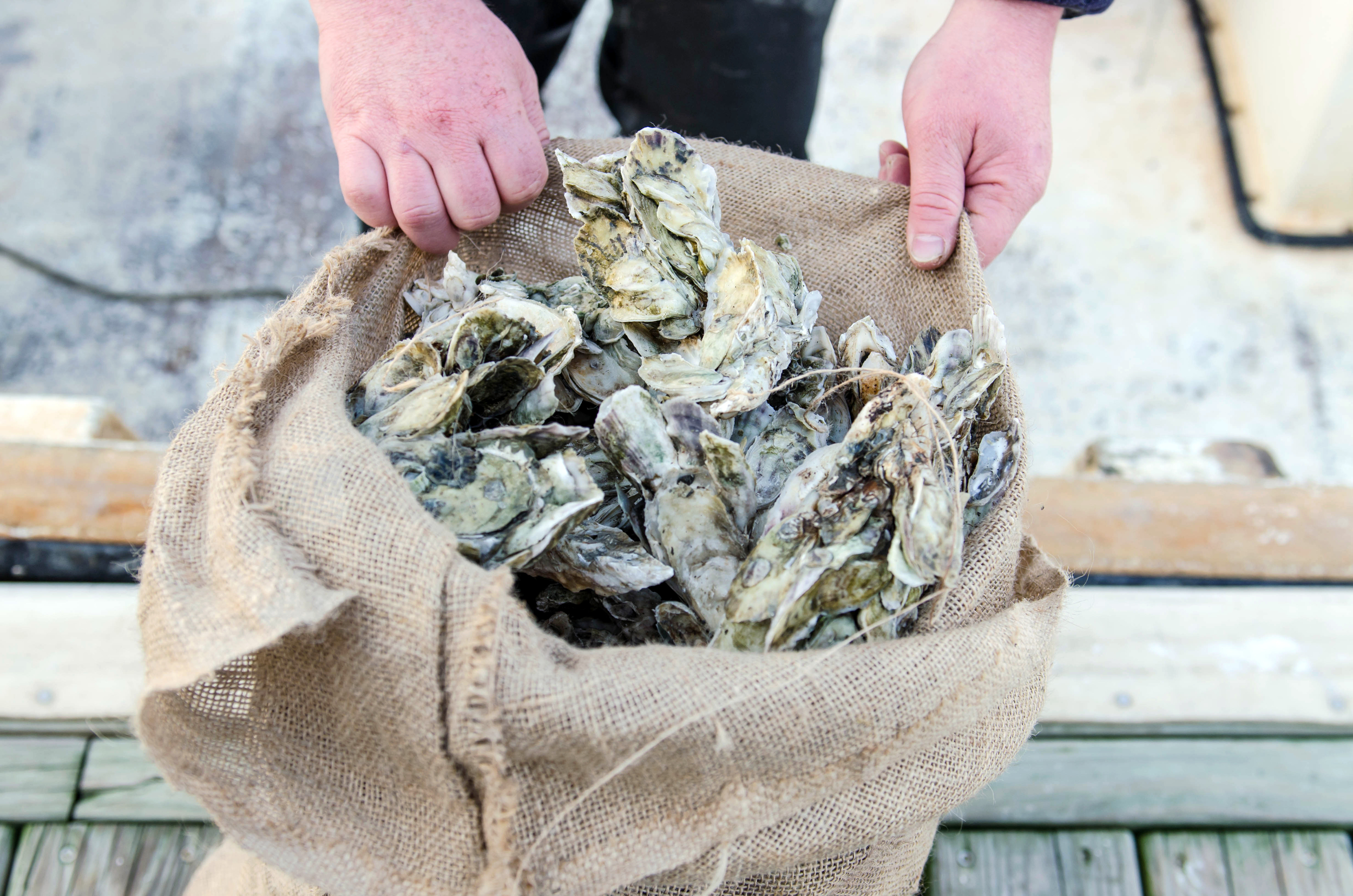 Freshly picked oysters in a burlap sack.