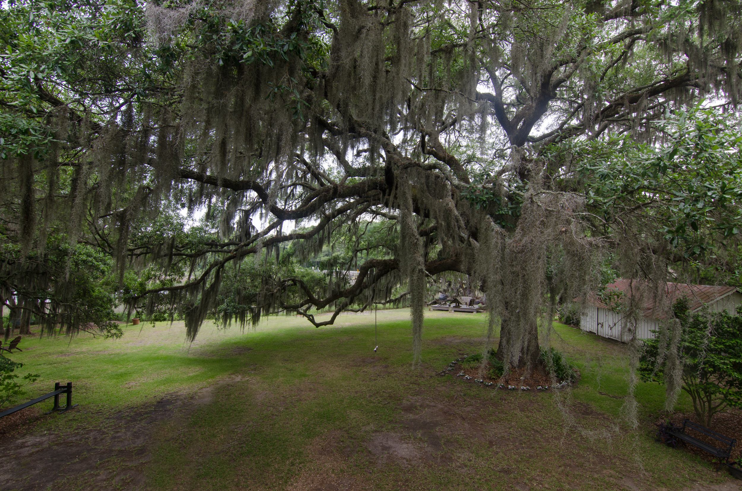 Massive live Oak situated in the backyard of the Bailey House.