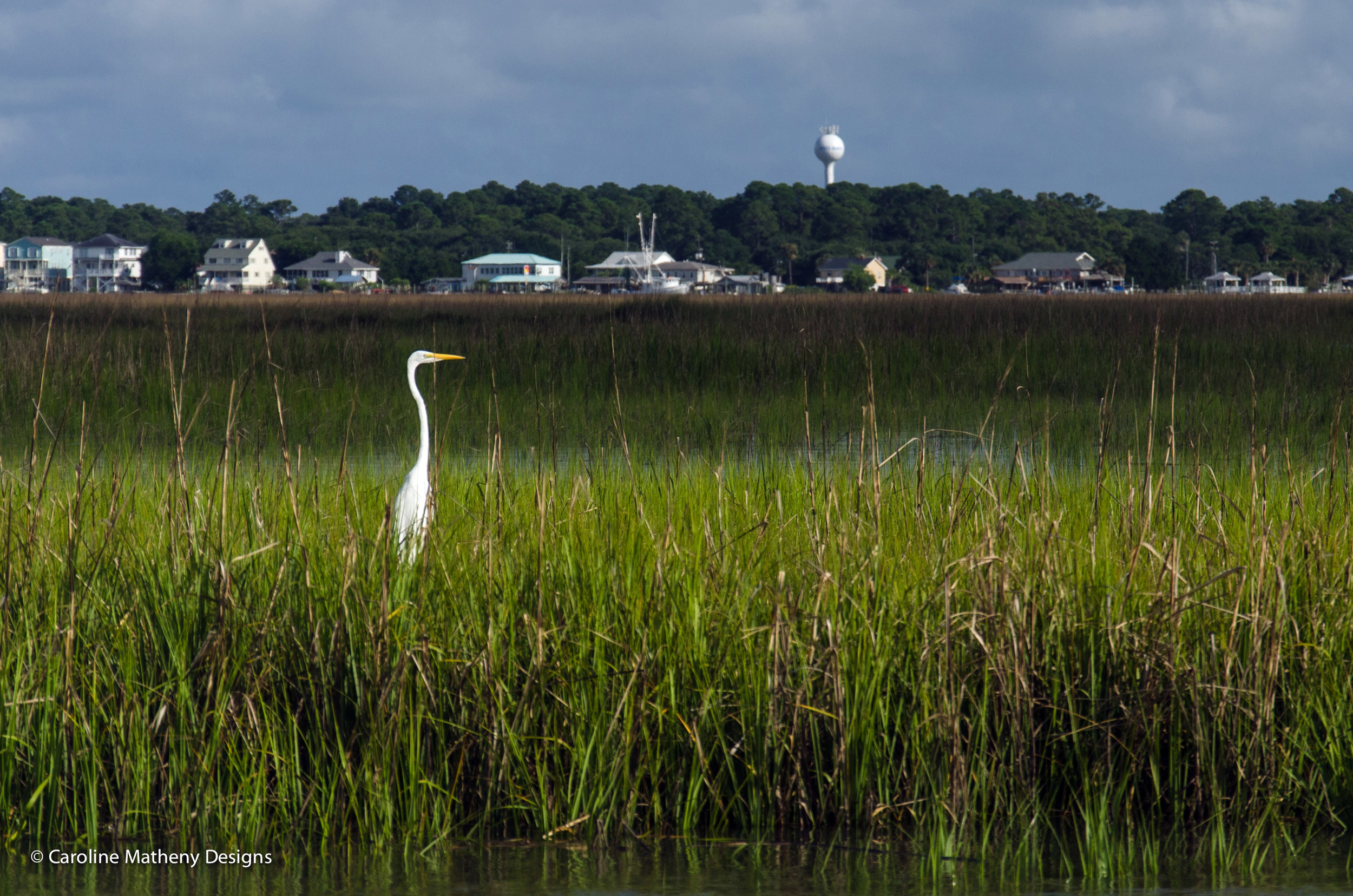 A stunning egret among the marsh grass in front of Edisto Beach, SC.