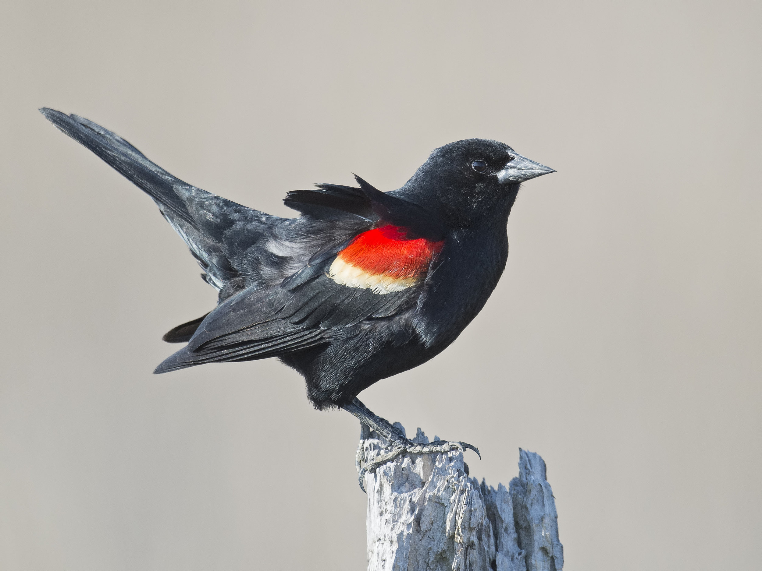 Red-winged blackbird or Agelaius phoeniceus.