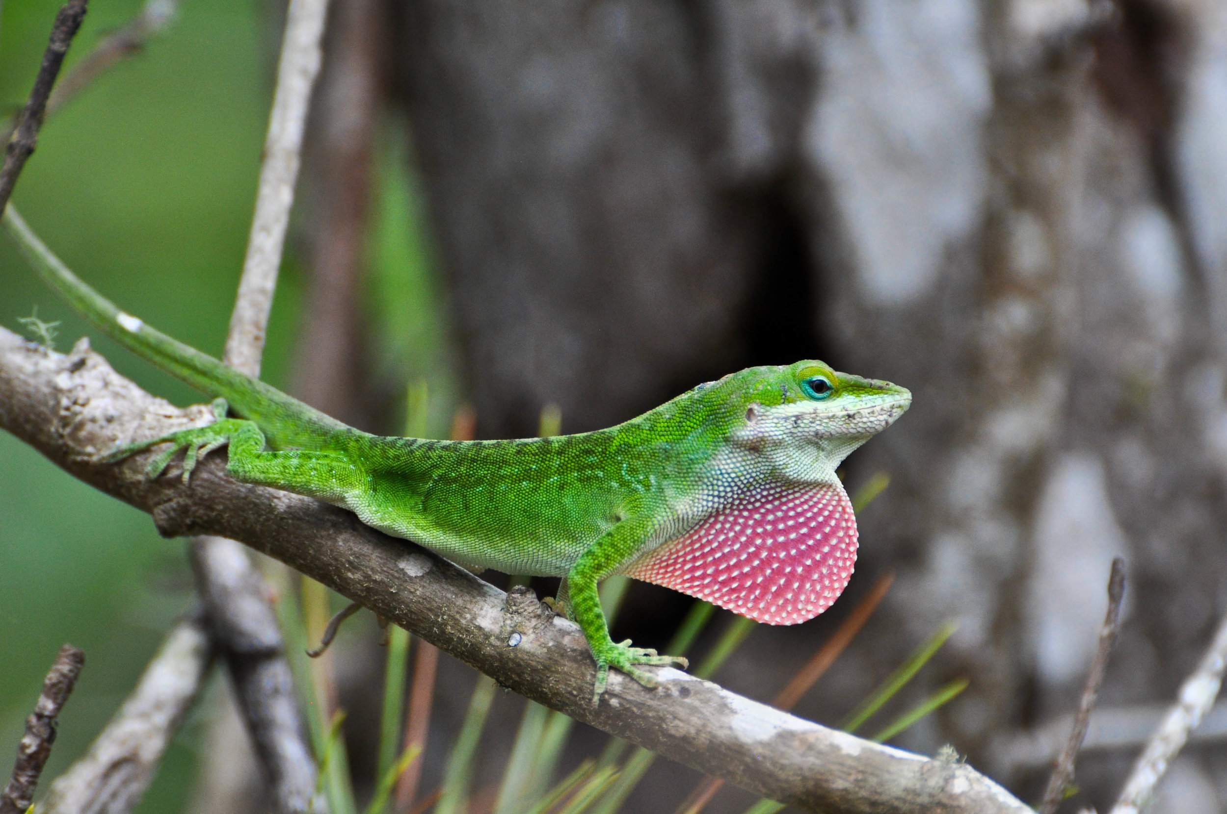 "Green anole or Anolis carolinensis. Also know as a ""chameleons""."