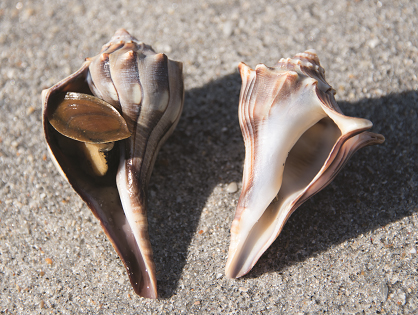 Whelks - The left-handed and right-handed lightning and knobbed whelks; left and right, respectively. Note the squishy foot and bony operculum of the live lightning whelk.