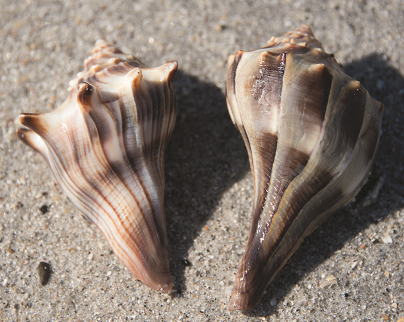 Whelks- Knobbed whelk (left) displaying more prominent knobs than the lightning whelk at right.