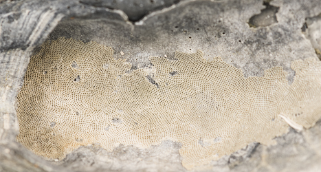 Bryozoan- The lacy patterns of a bryozoan colony on an oyster shell.