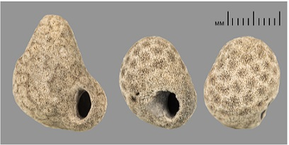 Bryoliths- Two bryolith colonies mimicking a snail shell.