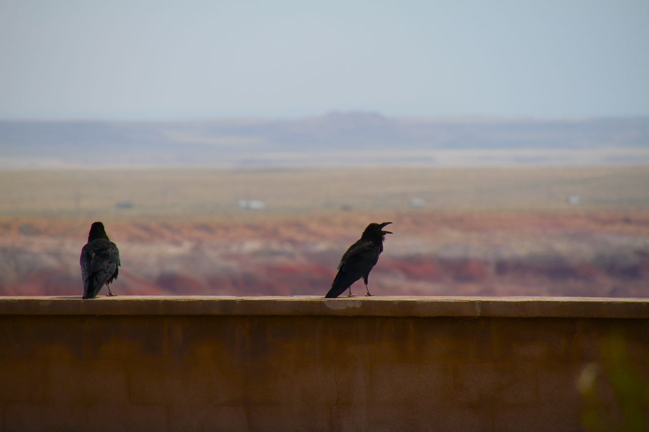Crows at Painted Desert