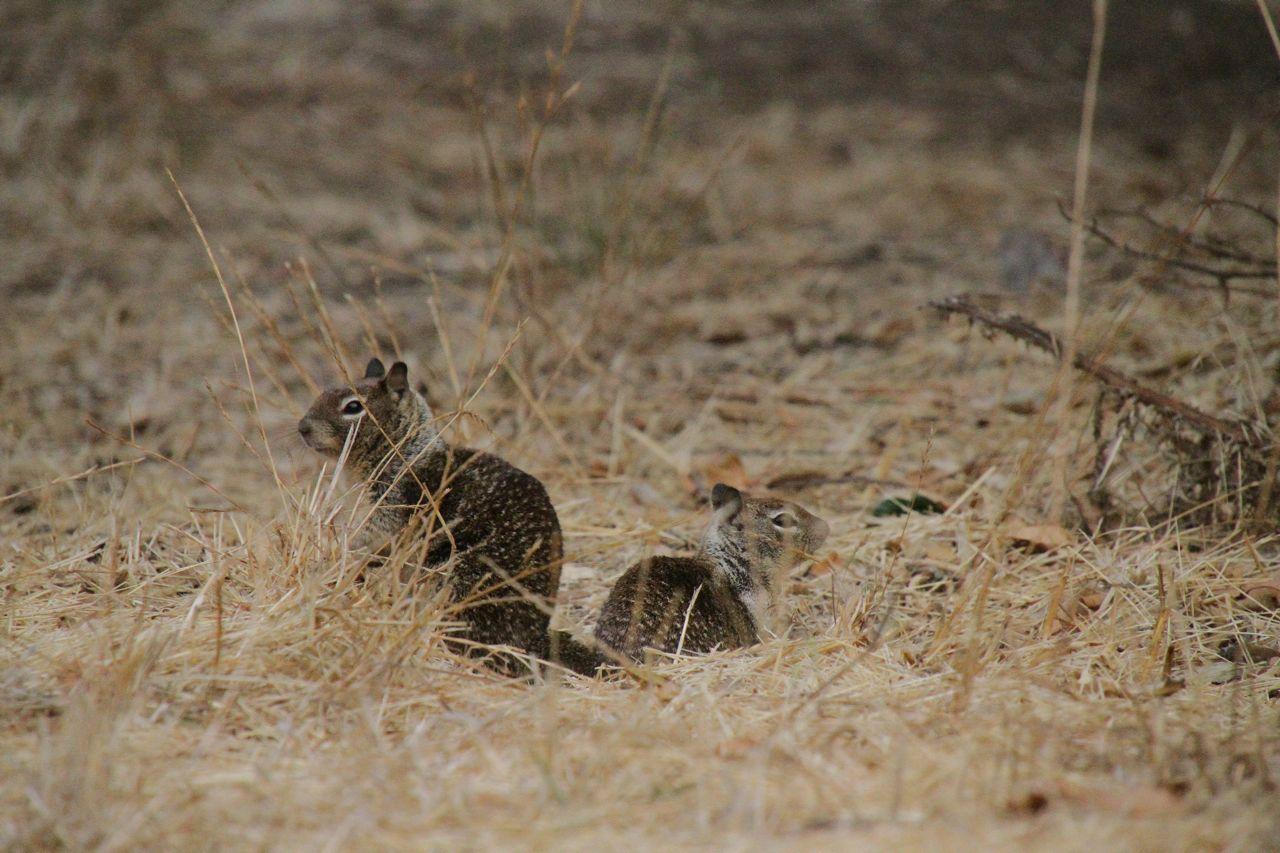 Camp visitors: ground squirrels