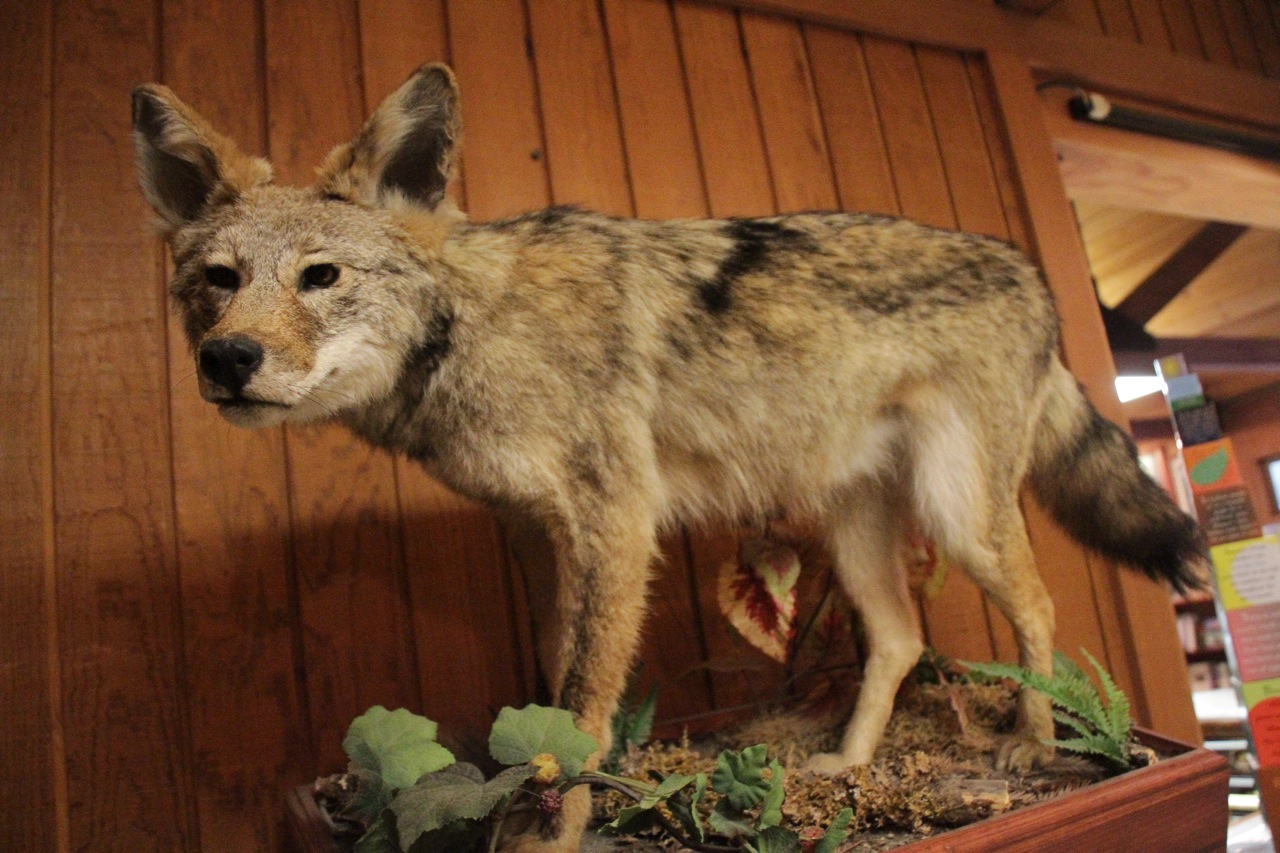 Coyote taxidermy at Humboldt Visitor Center