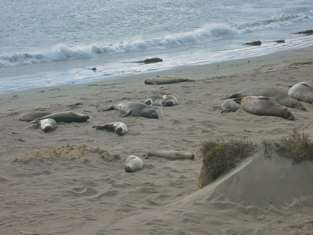 Elephant seals north of Morro Bay