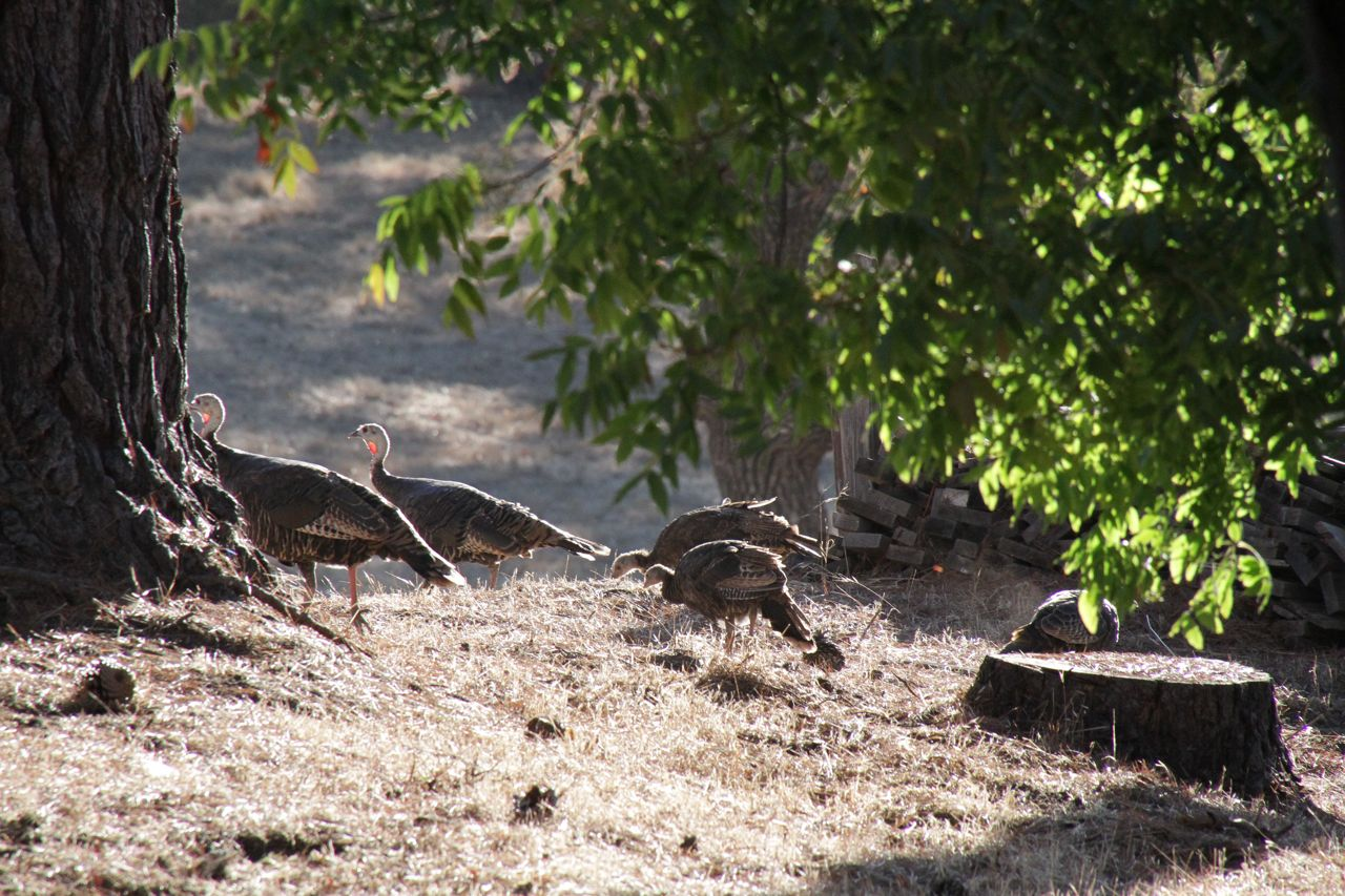 Turkeys at Taylor and Sarah's