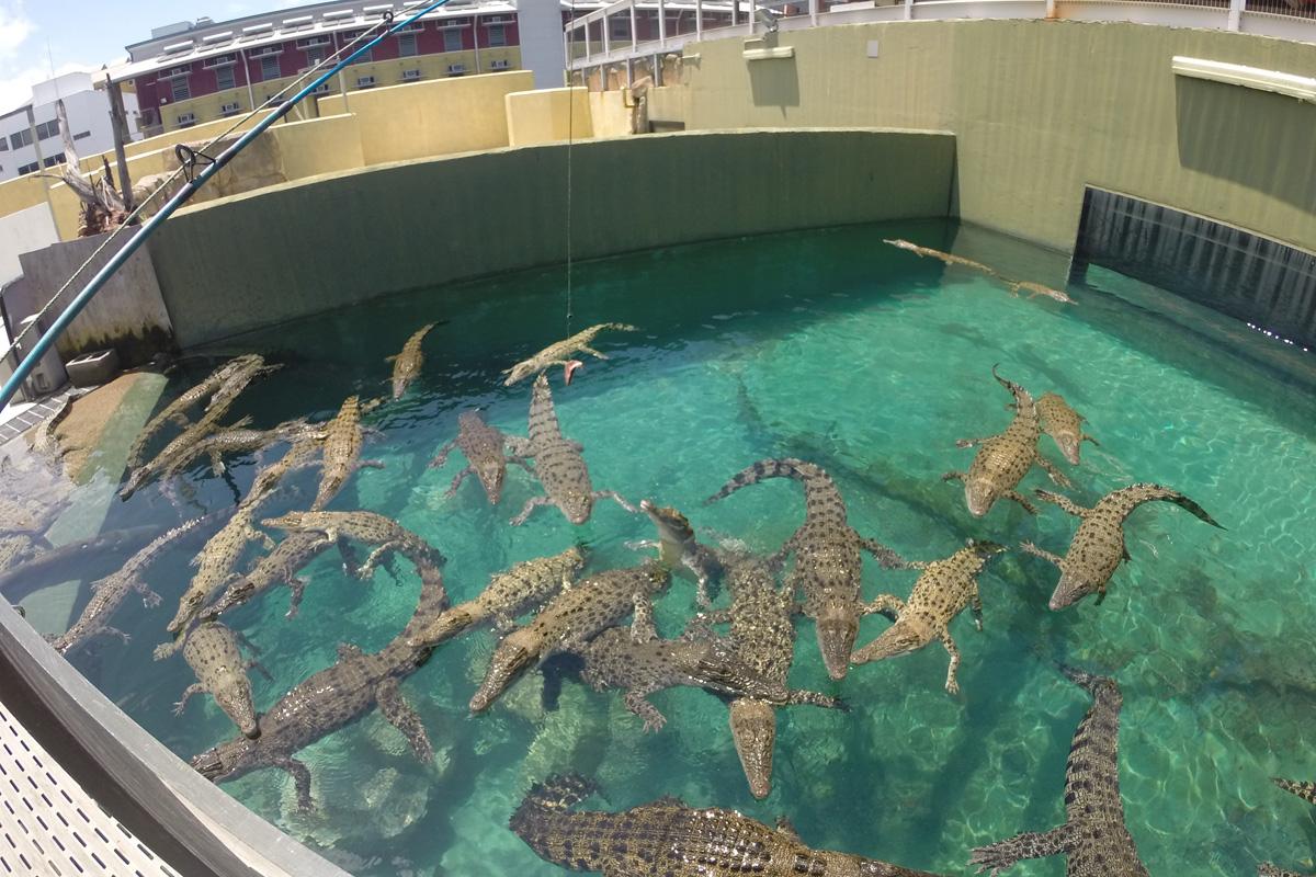 juvenile-crocodiles-darwin.jpg