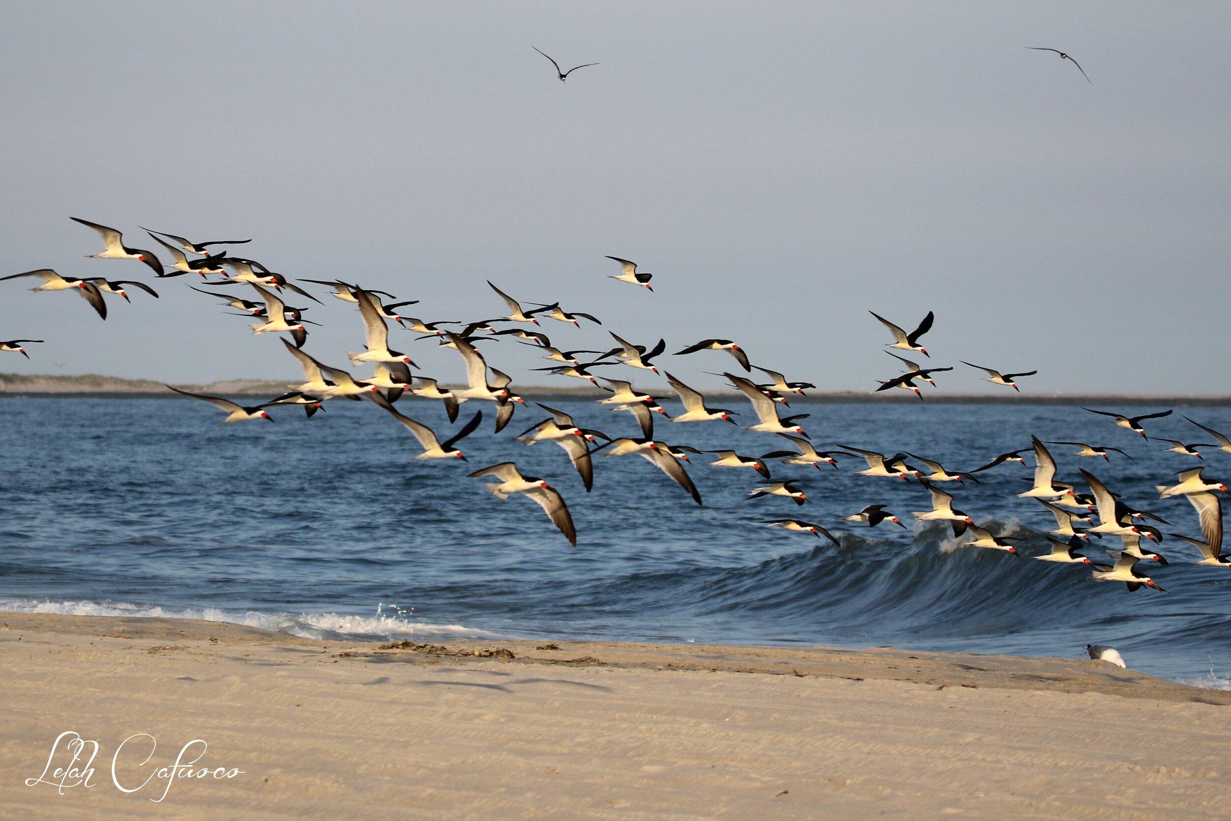 skimmer flock in fight over ocean.jpg