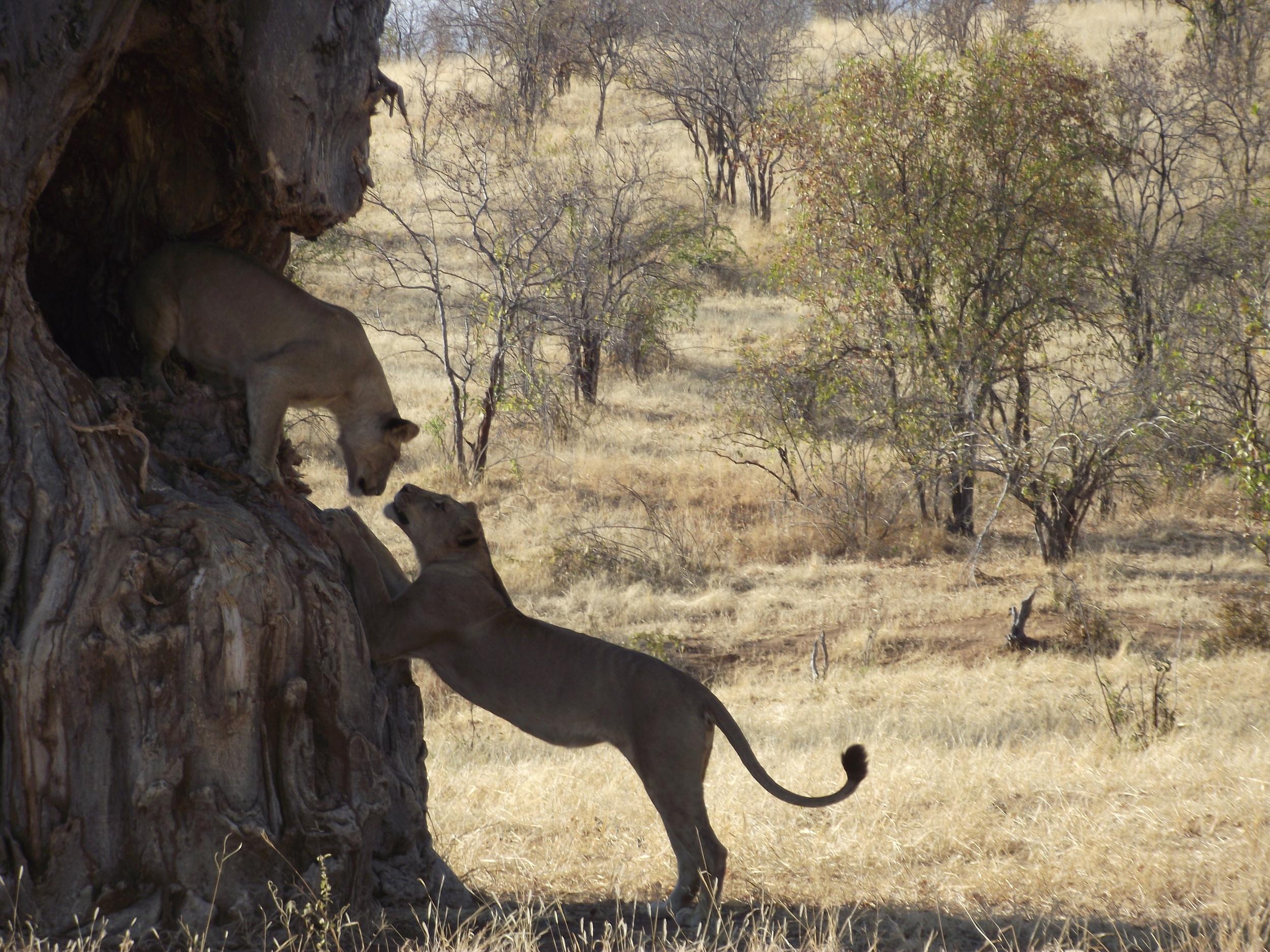 PC: Mdonya, Ruaha Carnivore Project
