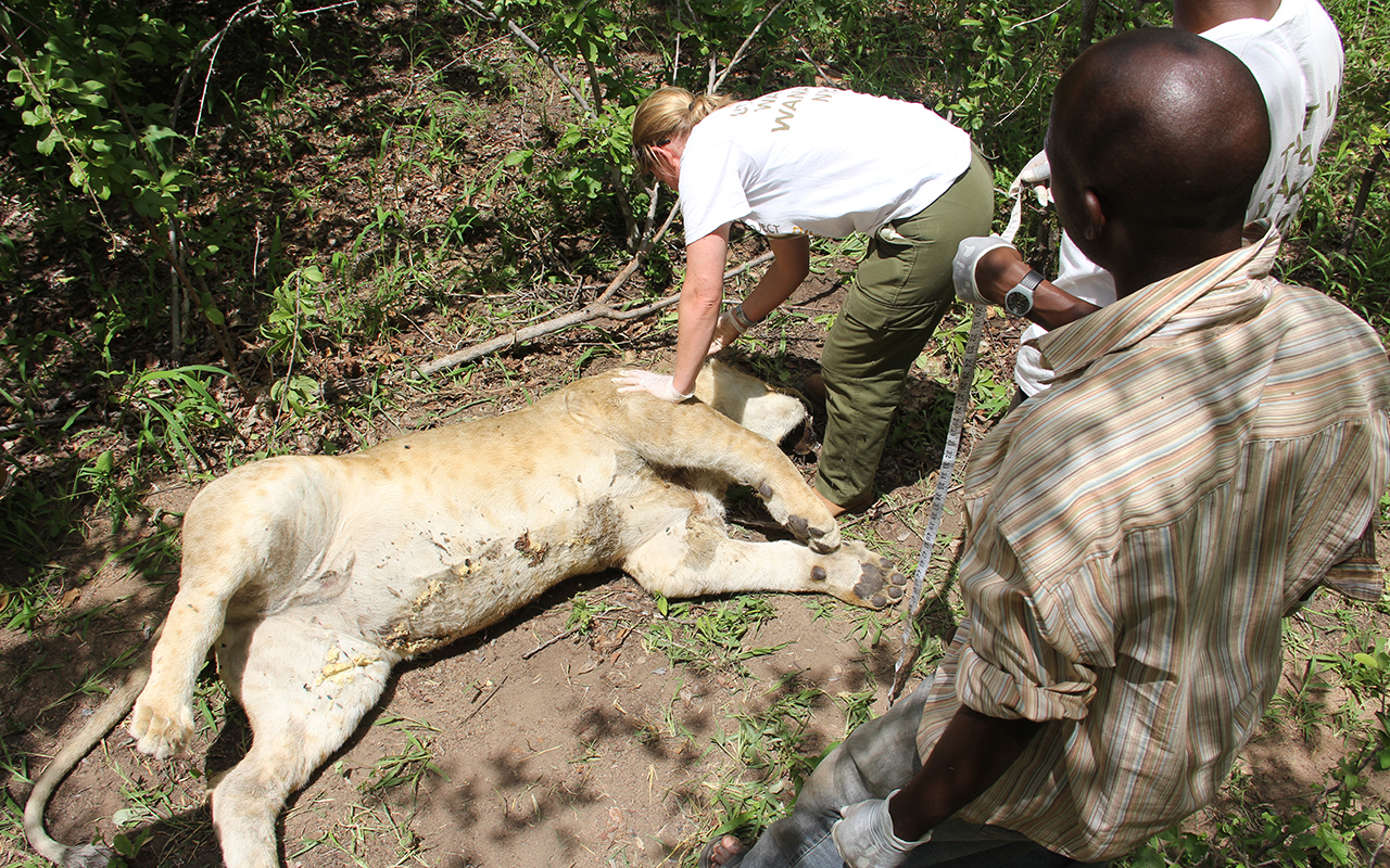 Dr. Amy Dickman examining a deceased young male lion. PC: Jon Erickson