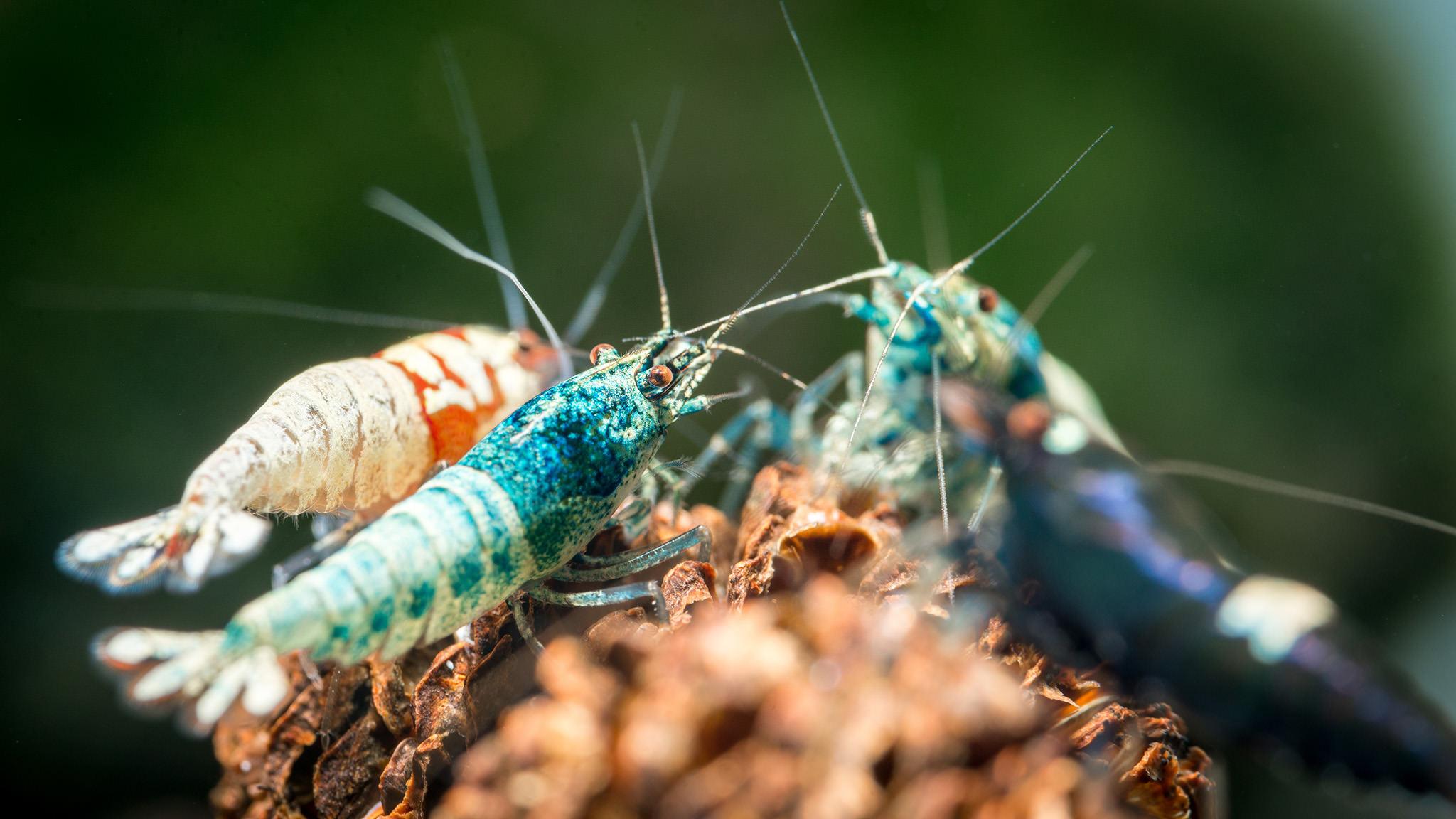 Shrimp source:  photographylife.com