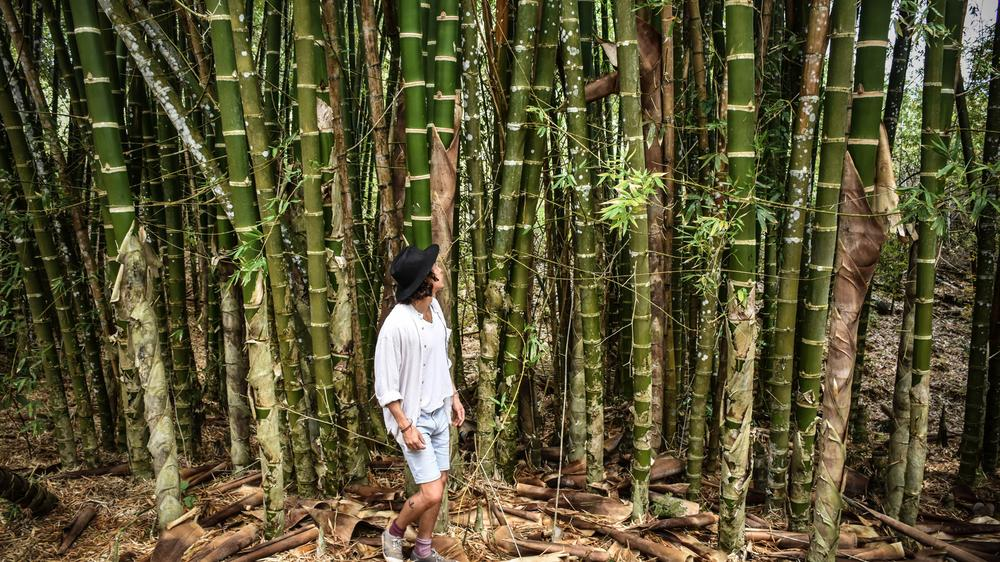 Thick stalks of bamboo are sold for $15 apiece.