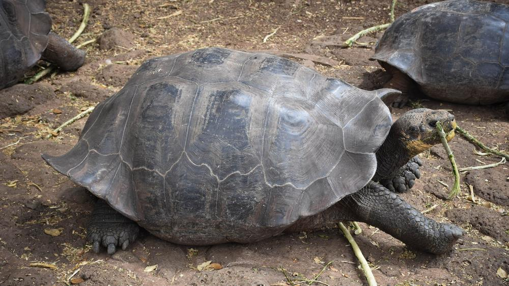 Otoy hopes to become a rehabilitation center for the islands' famous tortoises.