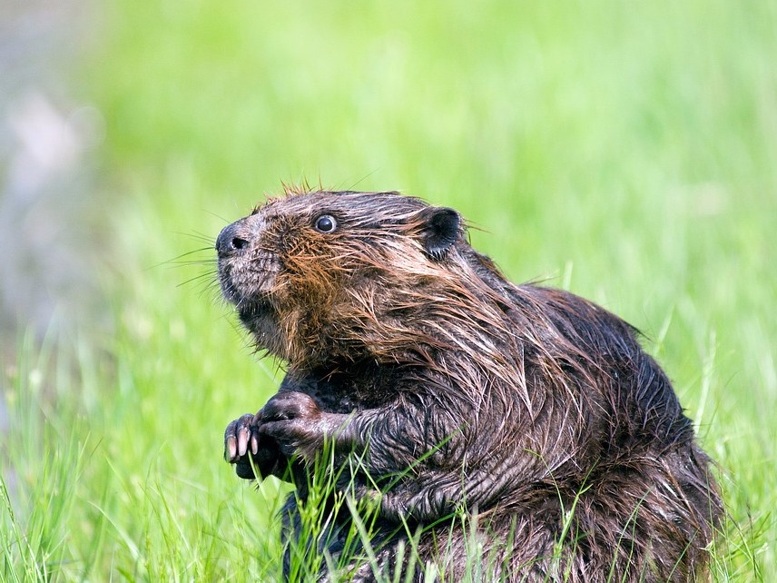 An essence derived from beaver anal glands is responsible for some sweet flavours in foods like ice cream. (Photo by SteveRaubenstine / Pixabay)