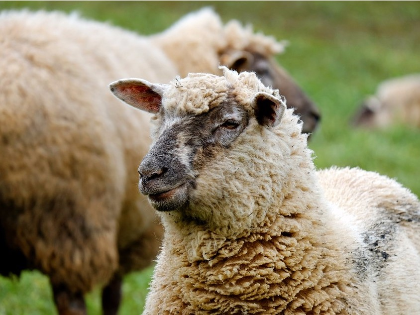 Sheep secretions go into chewing gum. (Photo by Couleur / Pixabay)