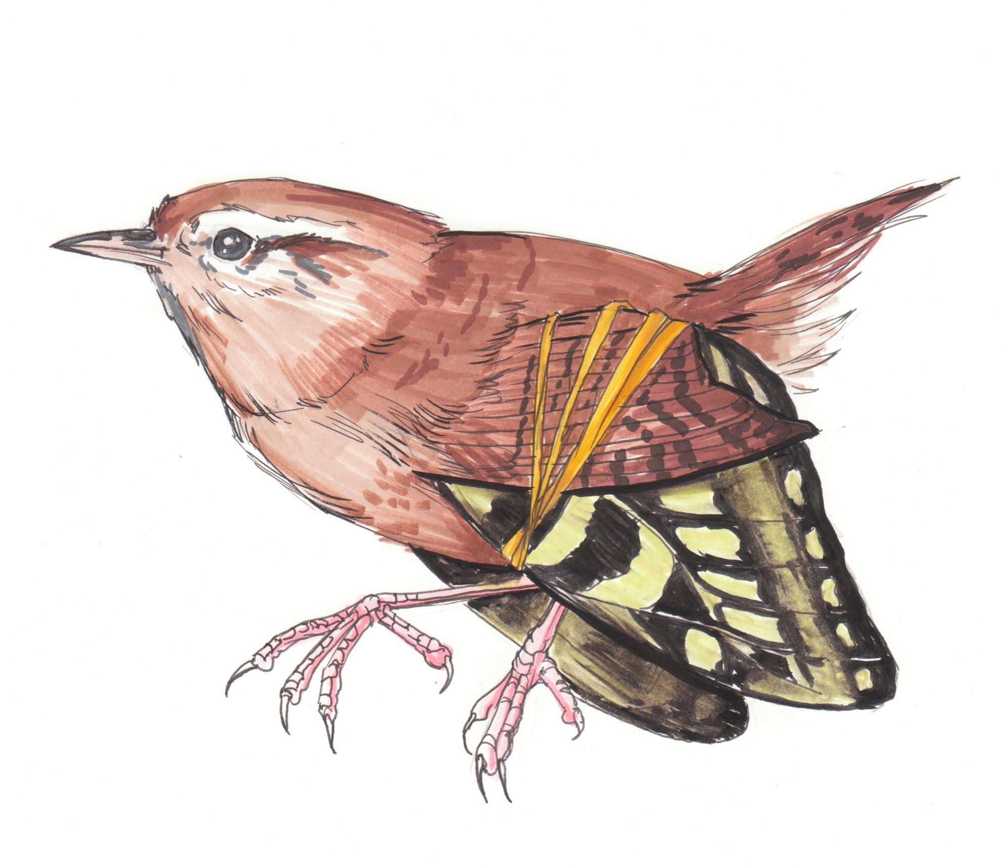 ButterflyWren.jpg