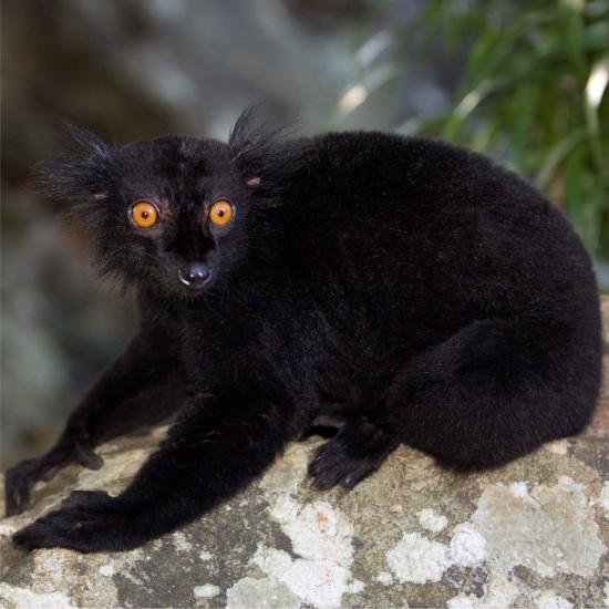 Lemurs at 293 on Komba