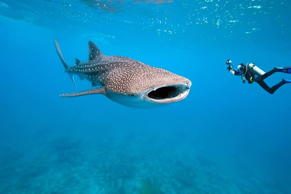 Whale Sharks in Nosy be, Madagascar