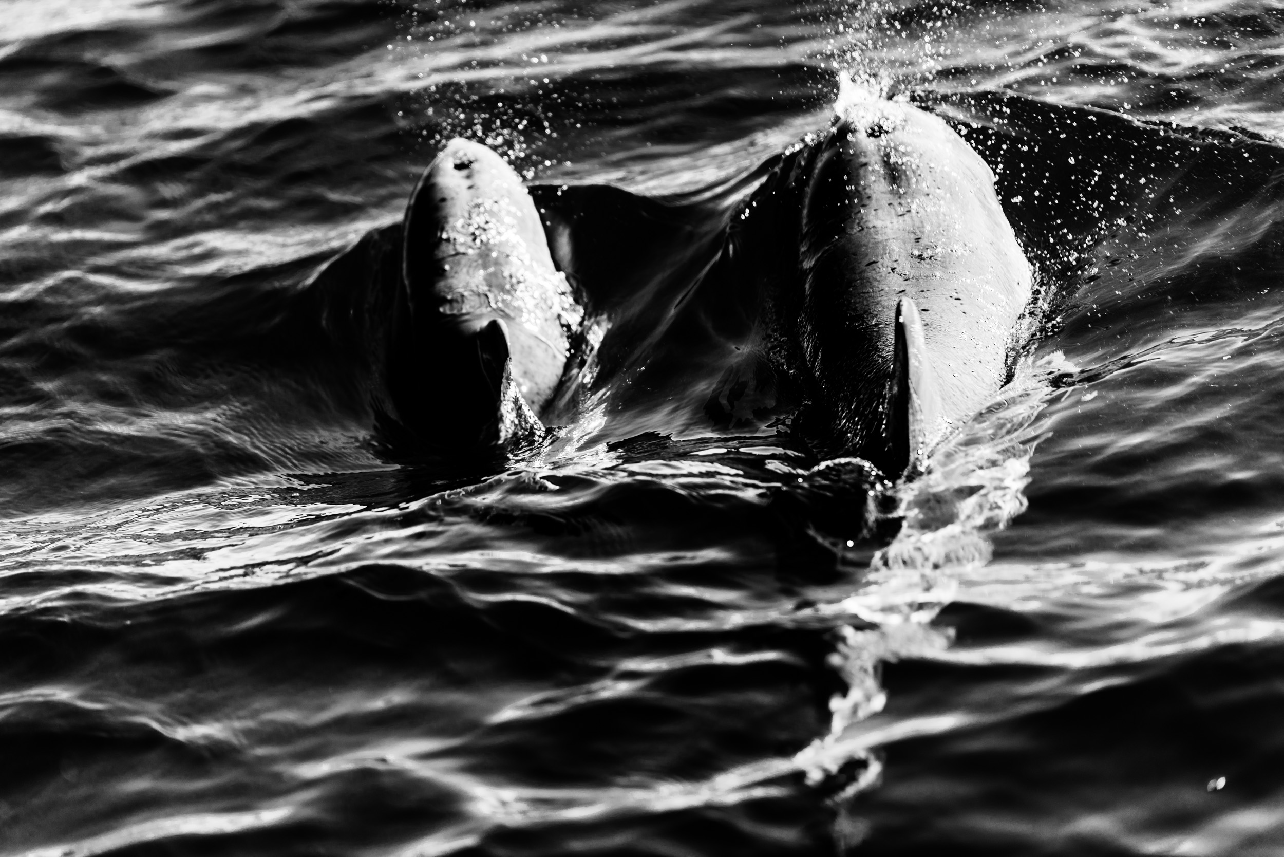 Spyrides_Kyle_Dolphin_Swimming_Rockingham_DSC2750.jpg