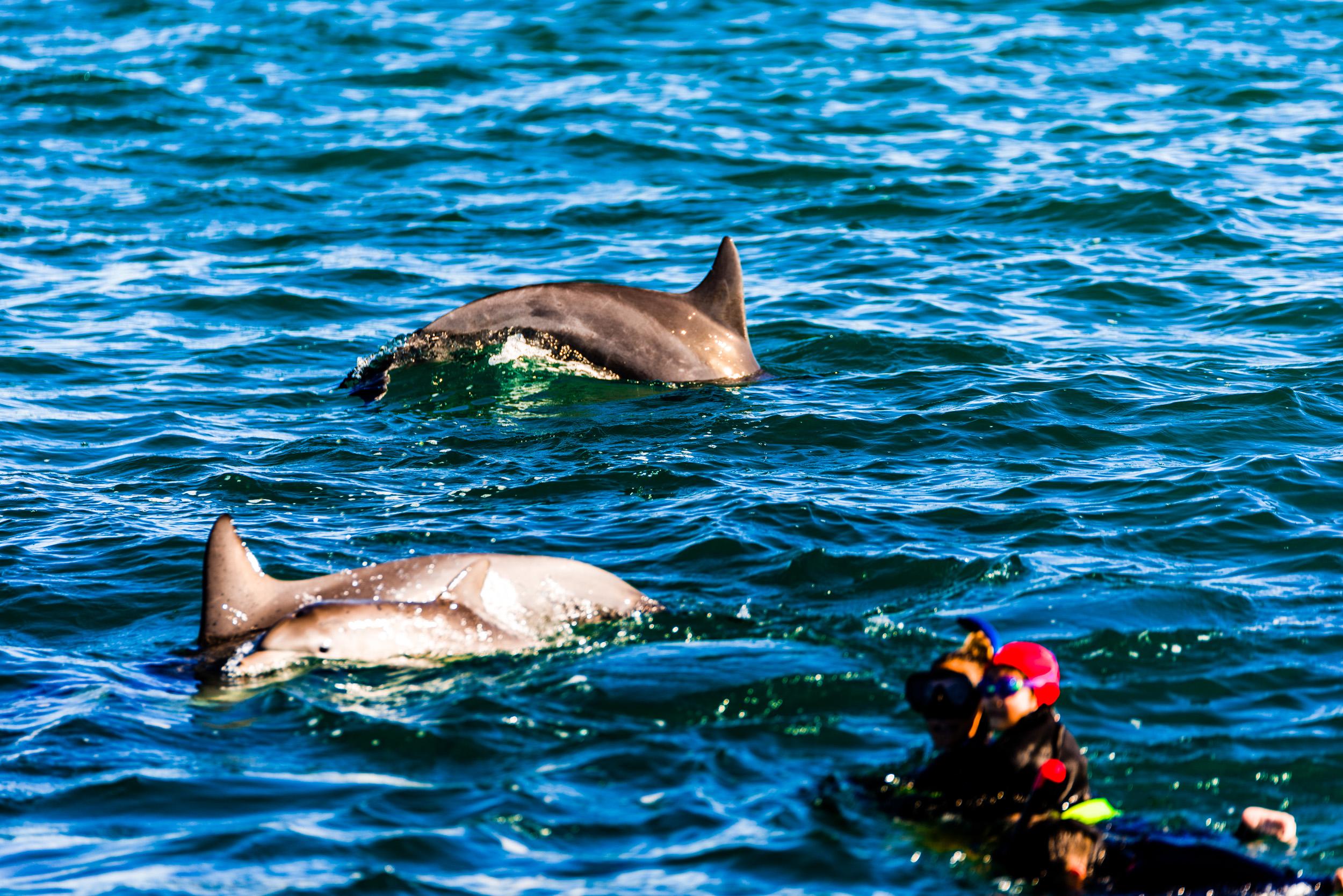 Spyrides_Kyle_Dolphin_Swimming_Rockingham_DSC2692.jpg