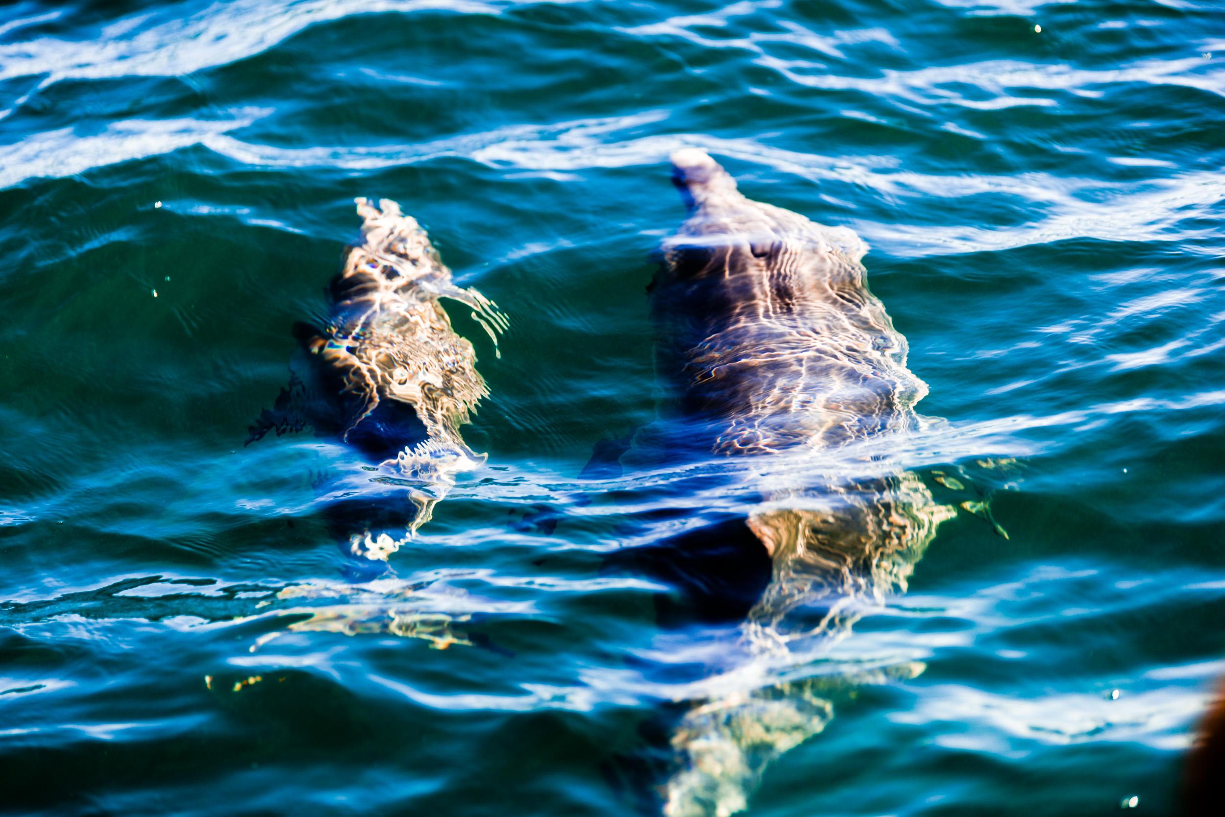 Spyrides_Kyle_Dolphin_Swimming_Rockingham_DSC2749.jpg