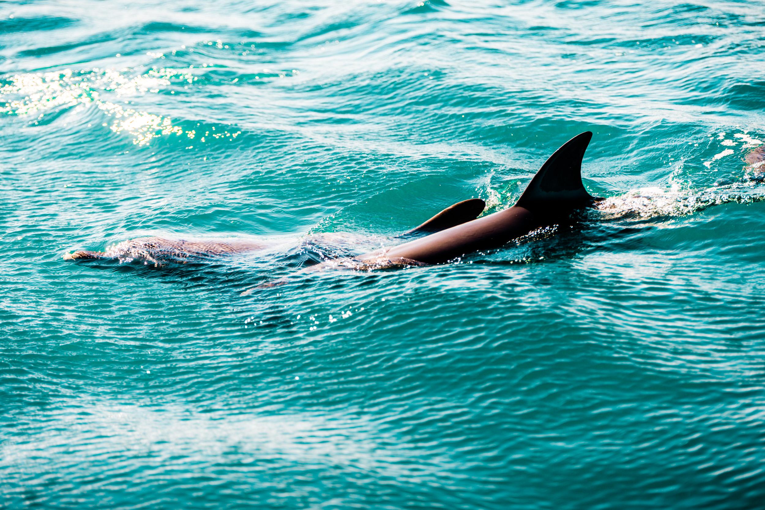 Spyrides_Kyle_Dolphin_Swimming_Rockingham_DSC2817.jpg