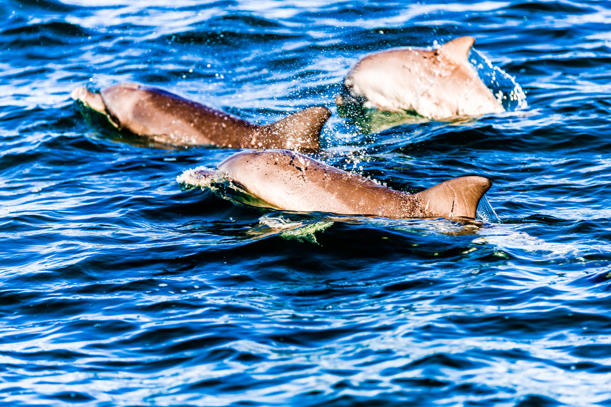 Spyrides_Kyle_Dolphin_Swimming_Rockingham_DSC2698.jpg