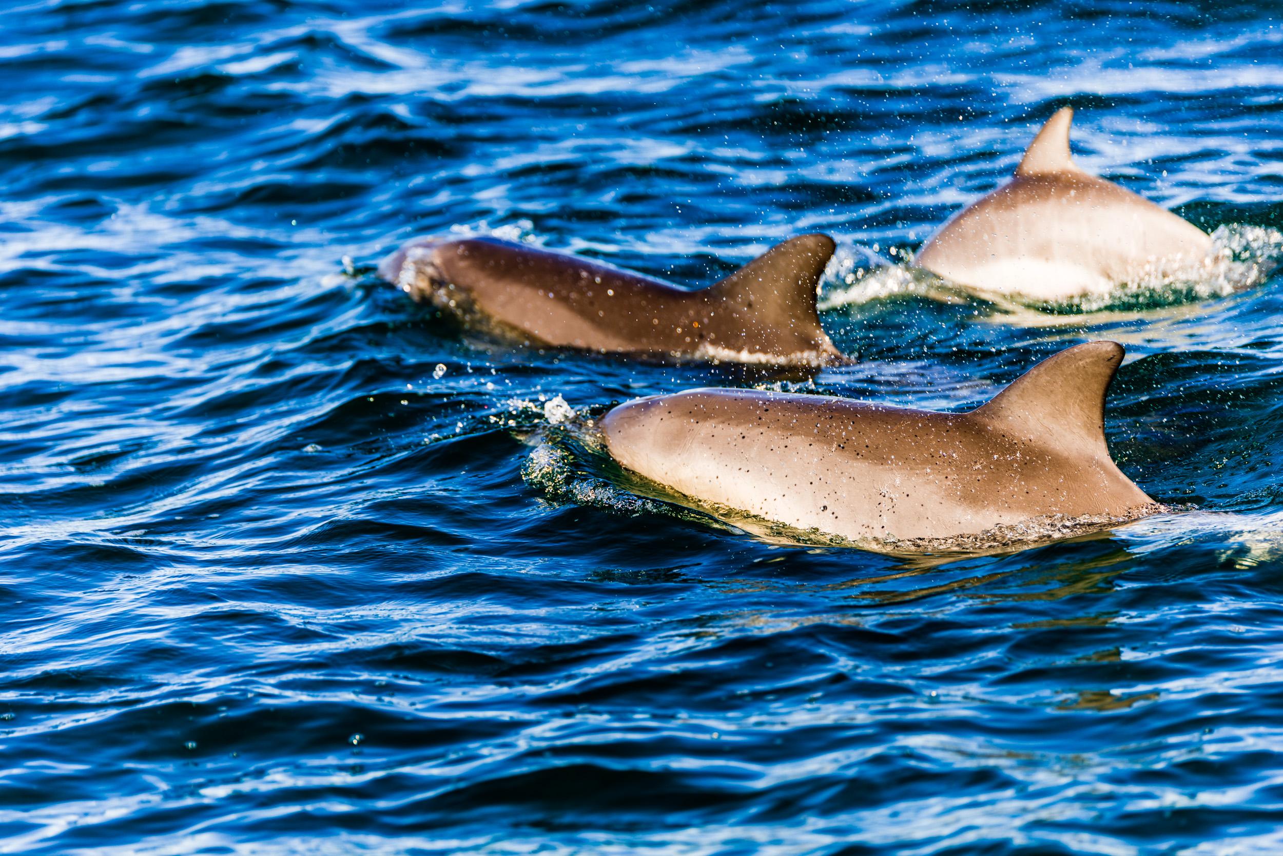 Spyrides_Kyle_Dolphin_Swimming_Rockingham_DSC2699.jpg