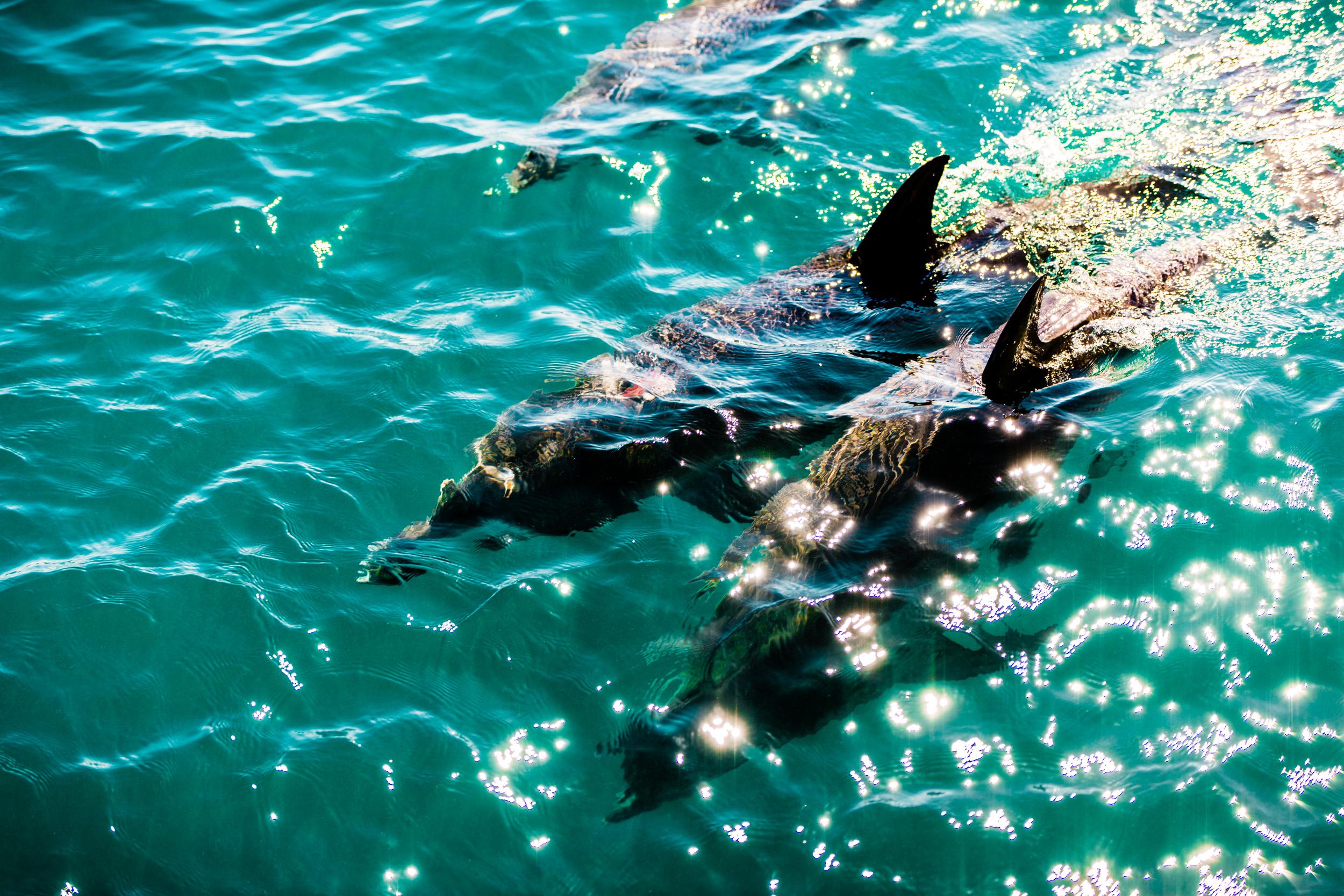 Spyrides_Kyle_Dolphin_Swimming_Rockingham_DSC2821.jpg