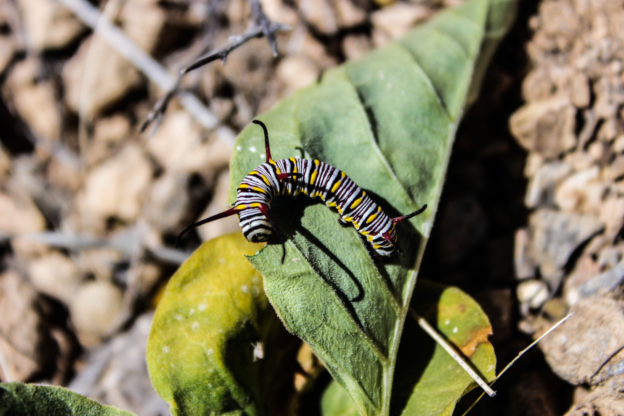 A queen butterfly ( Danaus gilippus ) caterpillar feeding on Mojave milkweed ( Asclepias nyctaginifolia ) at Ivanpah Solar Electric Generating System - one of the world's largest concentrating solar facilities - Mojave Desert, USA. Photo by Steve Grodsky.