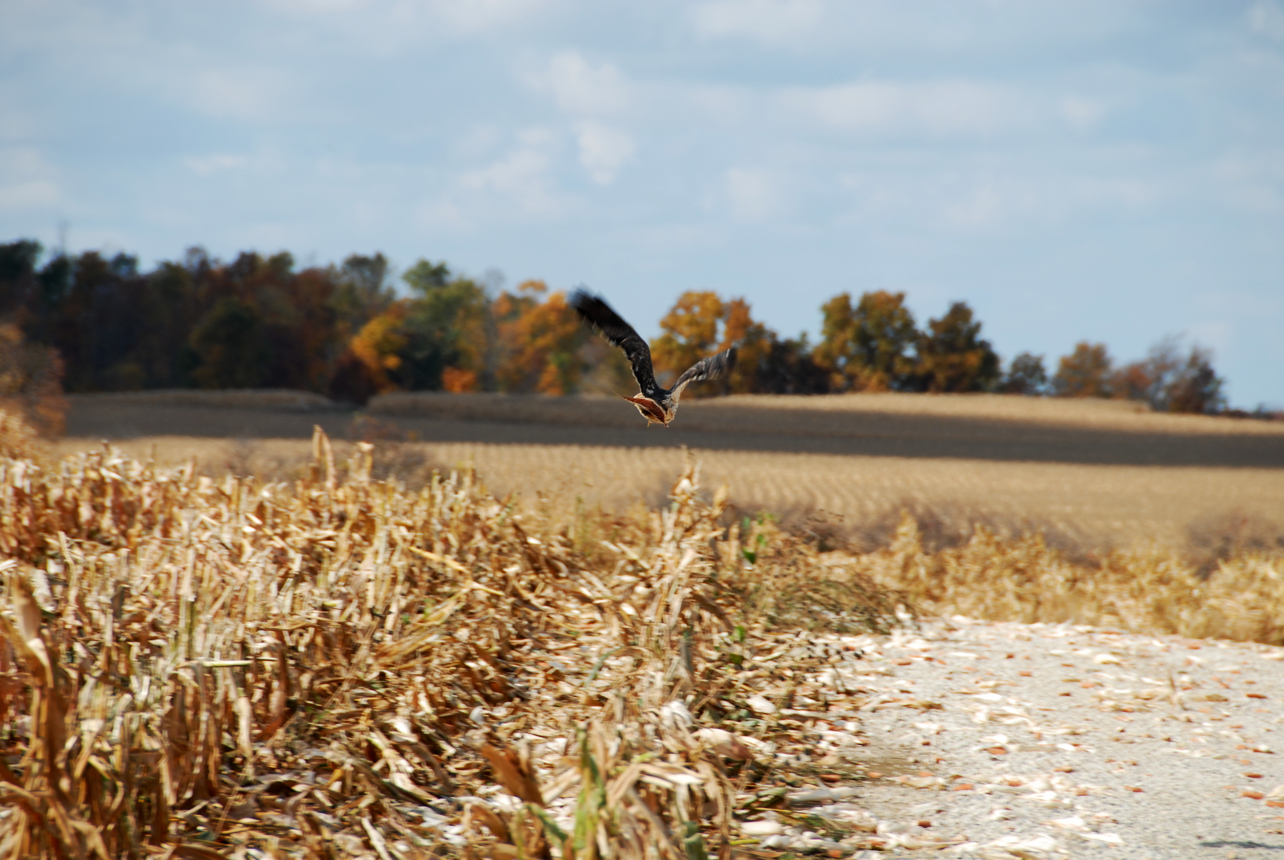 Red-tailed hawk ( Buteo jamaicensis ) flying near the pad of a wind turbine in southeastern Wisconsin, USA. Photo by Tom Underwood.