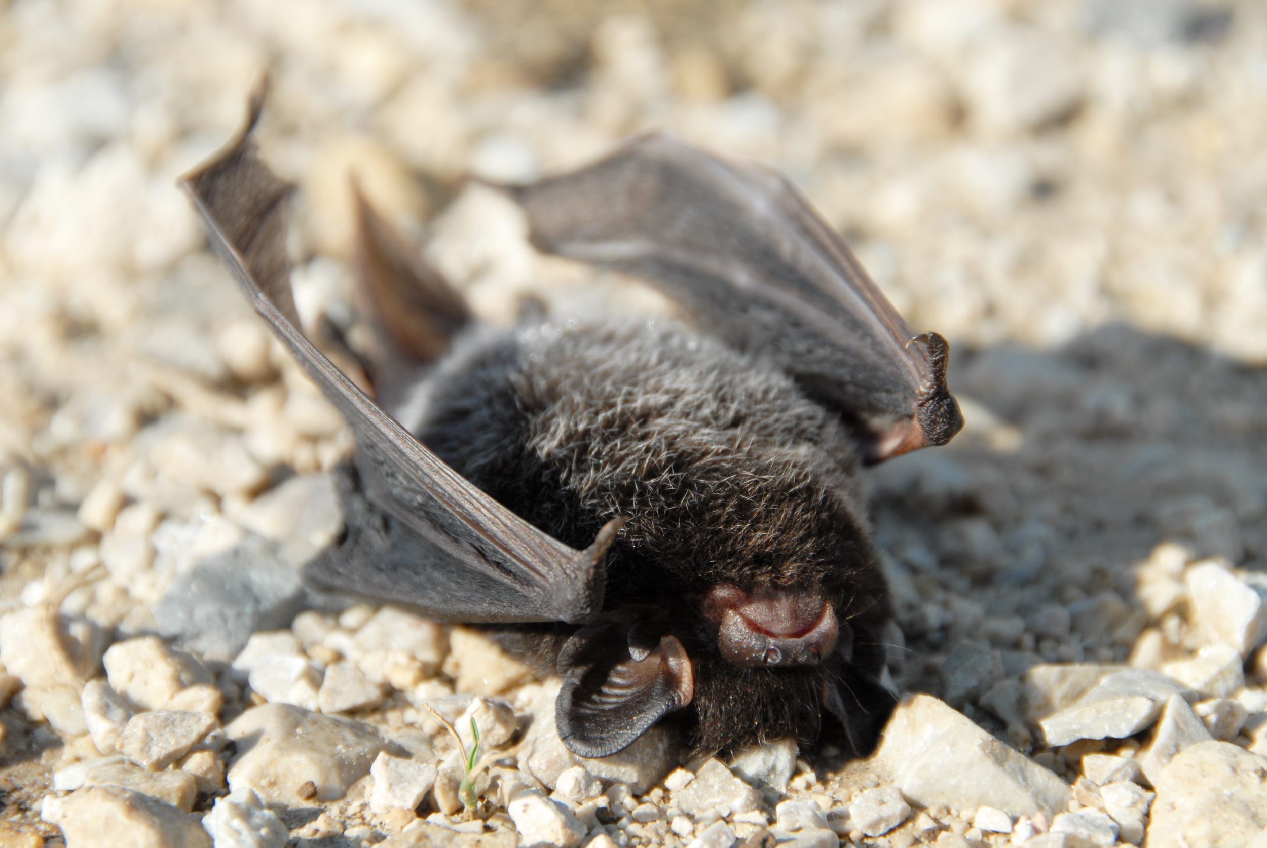 Silver-haired bat ( Lasionycteris noctivagans ) found dead under a wind turbine in southeastern Wisconsin, USA. Photo by Tom Underwood.