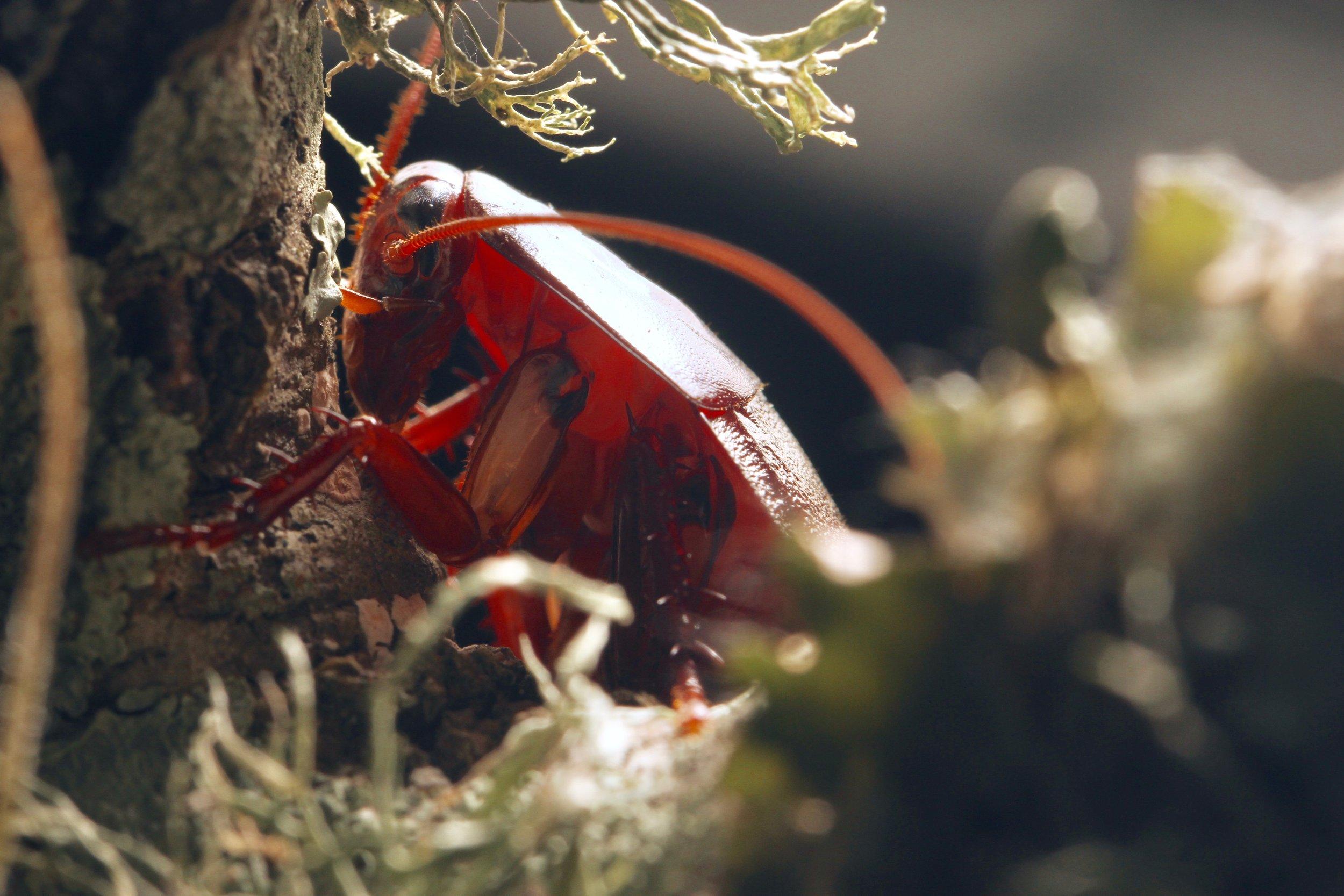 Invertebrates are wildlife. Wood cockroach photo by Chase Kimmel.