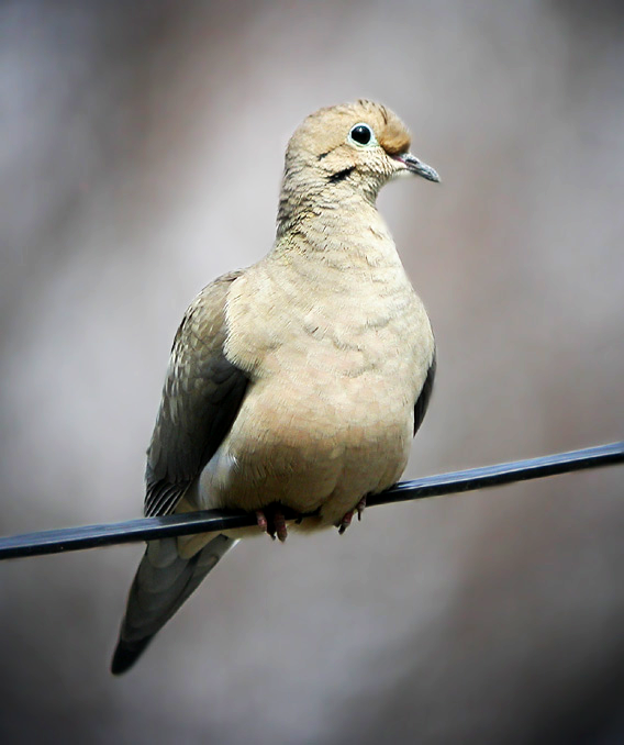 Our study suggested that mourning dove ( Zenaida macroura ) may eat seeds 'dammed up' against coarse woody debris and therefore associate with harvest residues for feeding following woody biomass harvests in intensively managed pine plantations in North Carolina, USA. Photo by Tom Prestby.